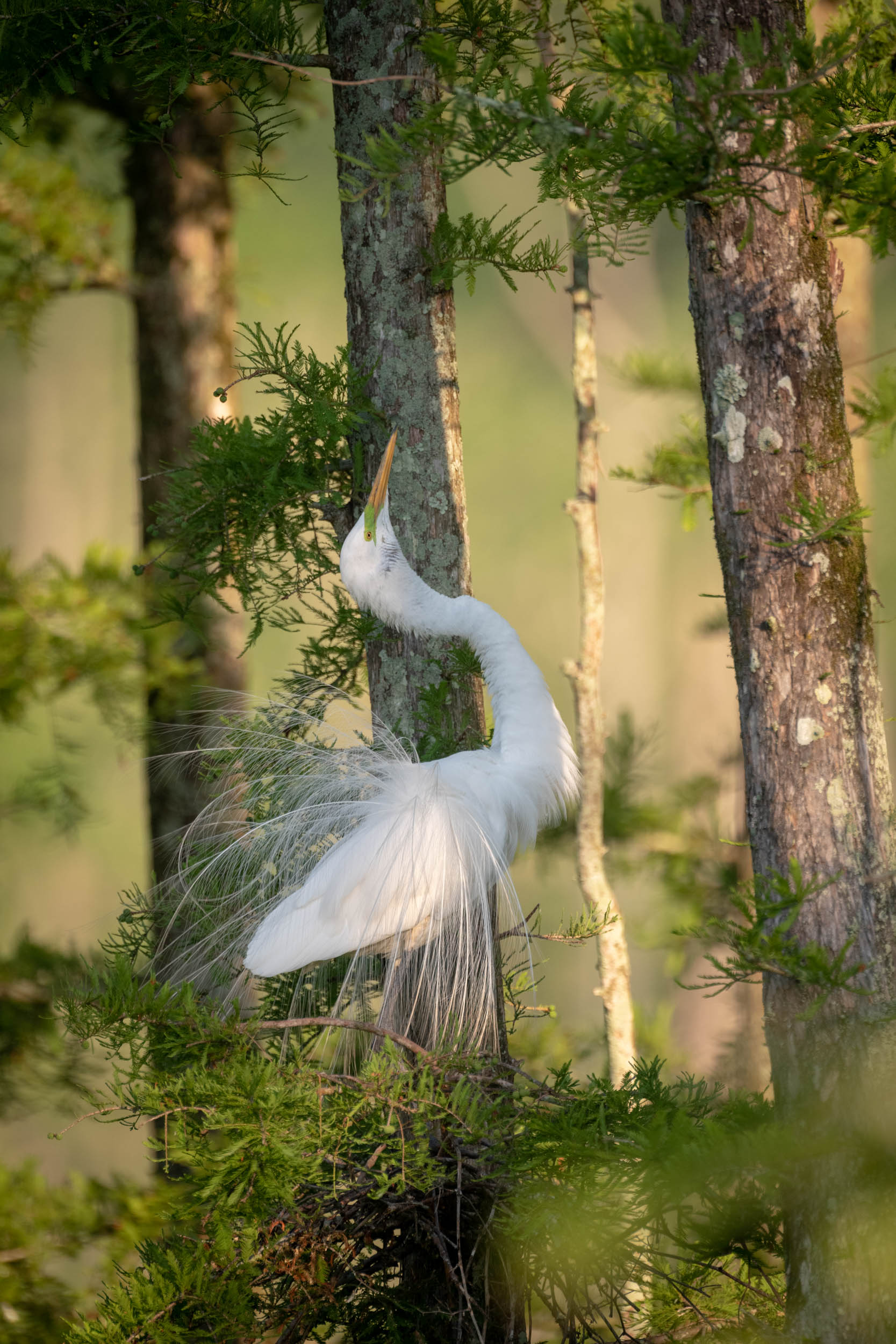 Great Egret Display #2 Cazan Lake