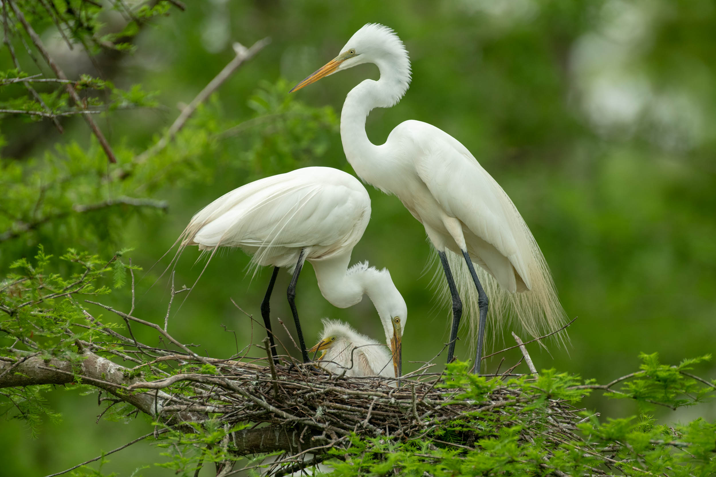 Great Egrets Tending the Nest Cazan Lake