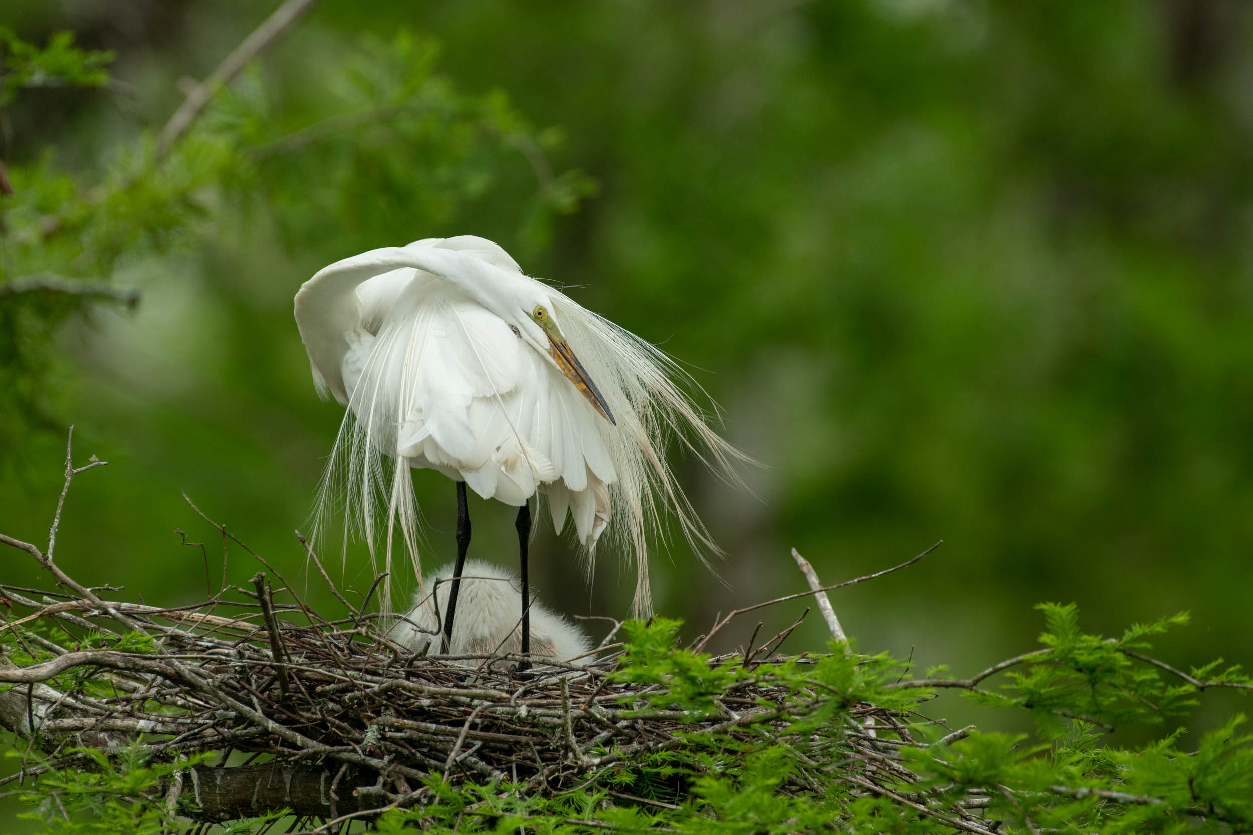 Great Egret on the Nest Cazan Lake