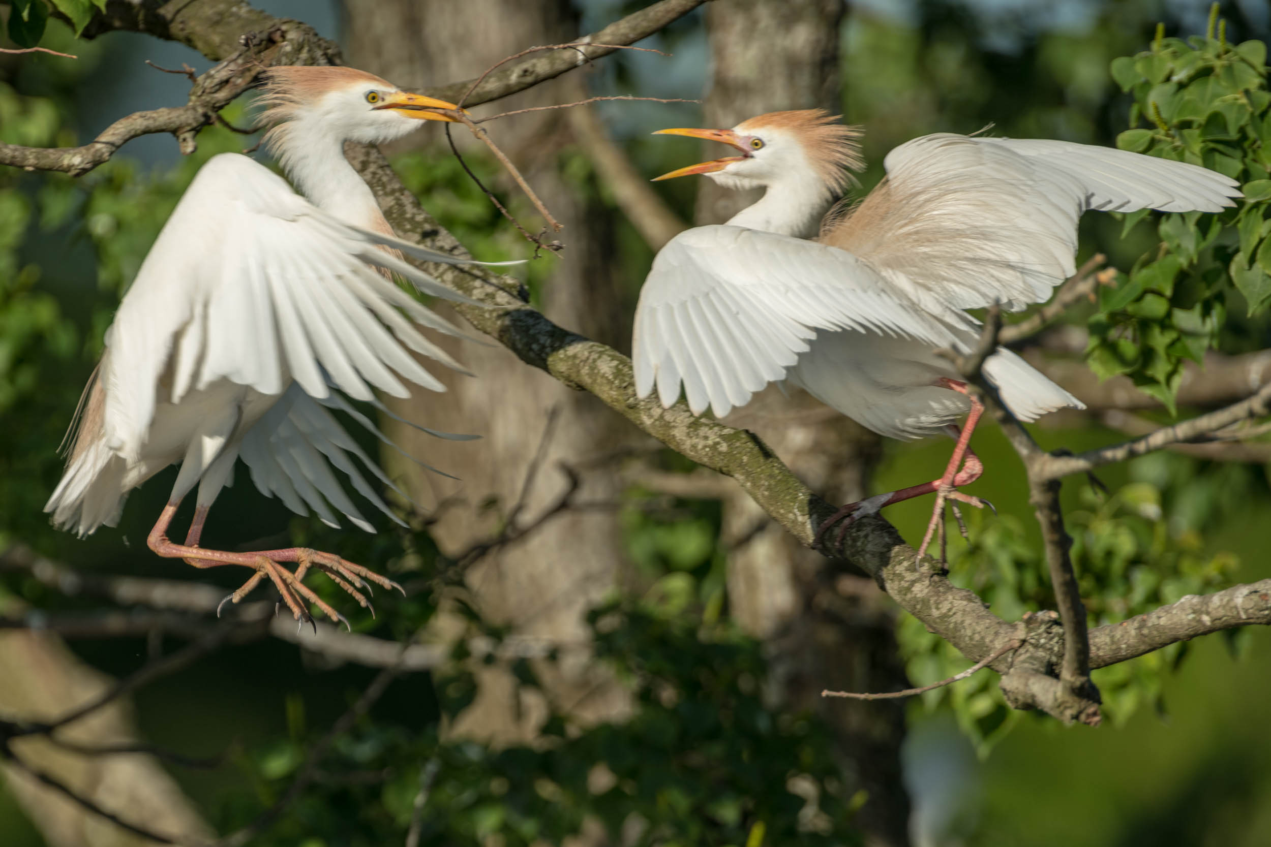 Cattle Egrets Fighting over Stick Rips Rookery