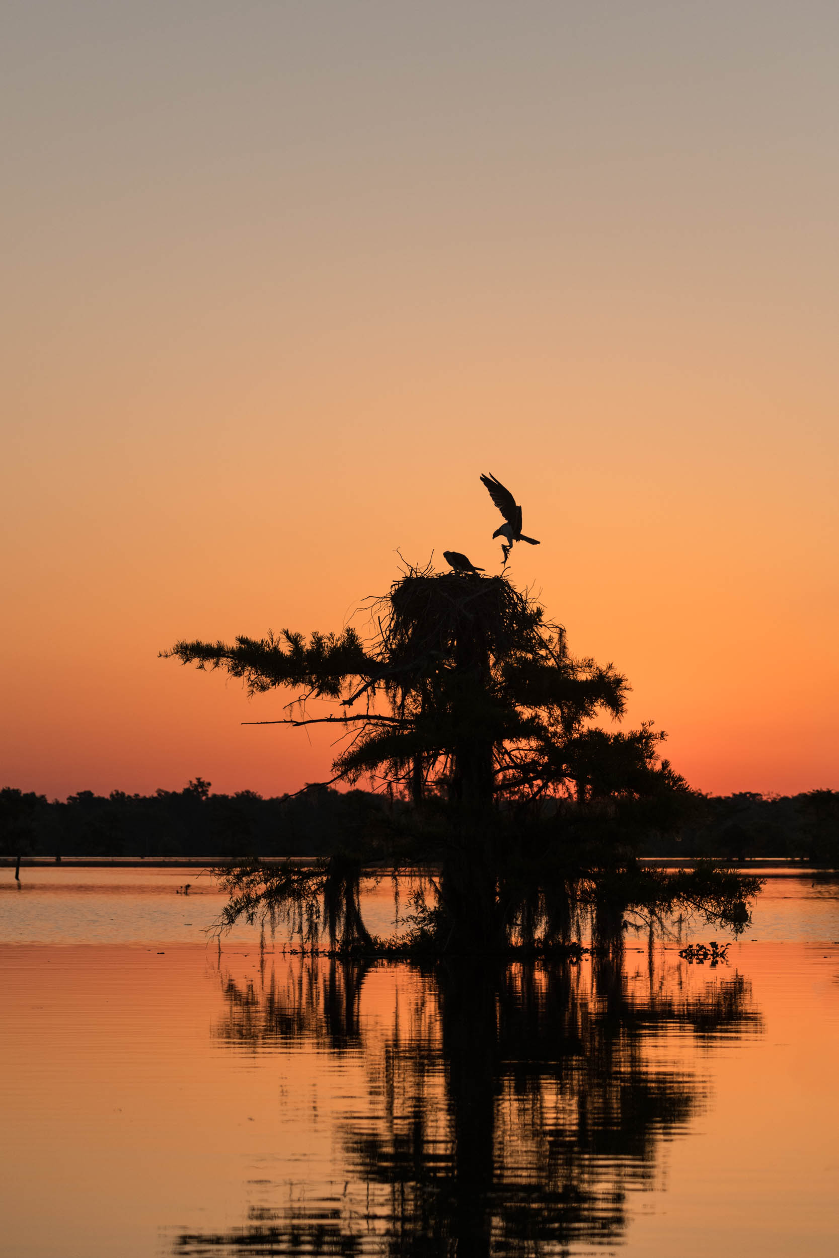 Male Osprey Bringing a Fish to the Nest at Sunrise Henderson Swamp