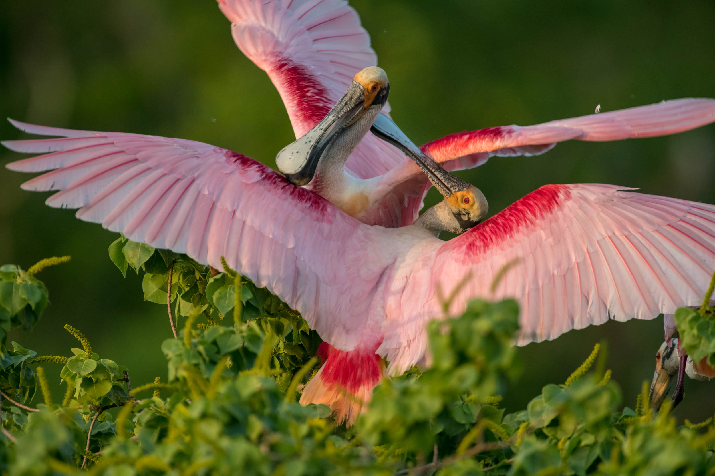 Roseate Spoonbill Territorial Dispute from the 2018 Tours