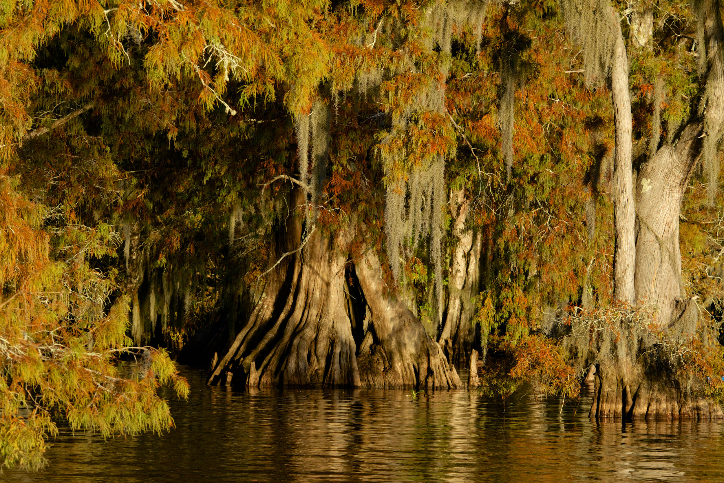 Cypress Trees in Louisiana Swamp