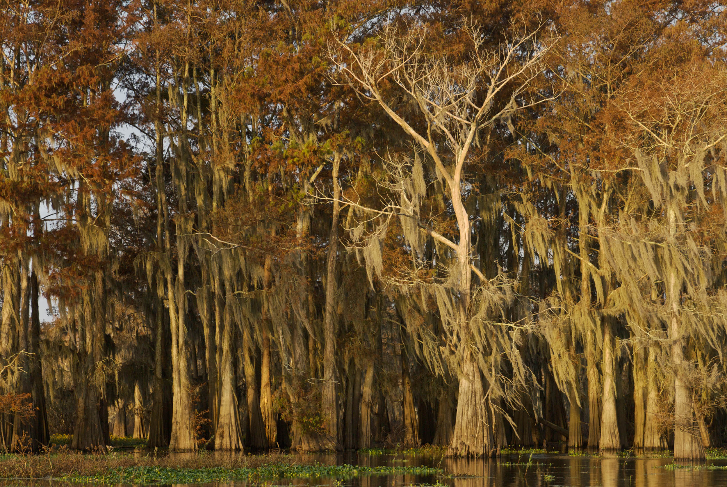 Atchafalaya Basin Cypress - Fall Foliage