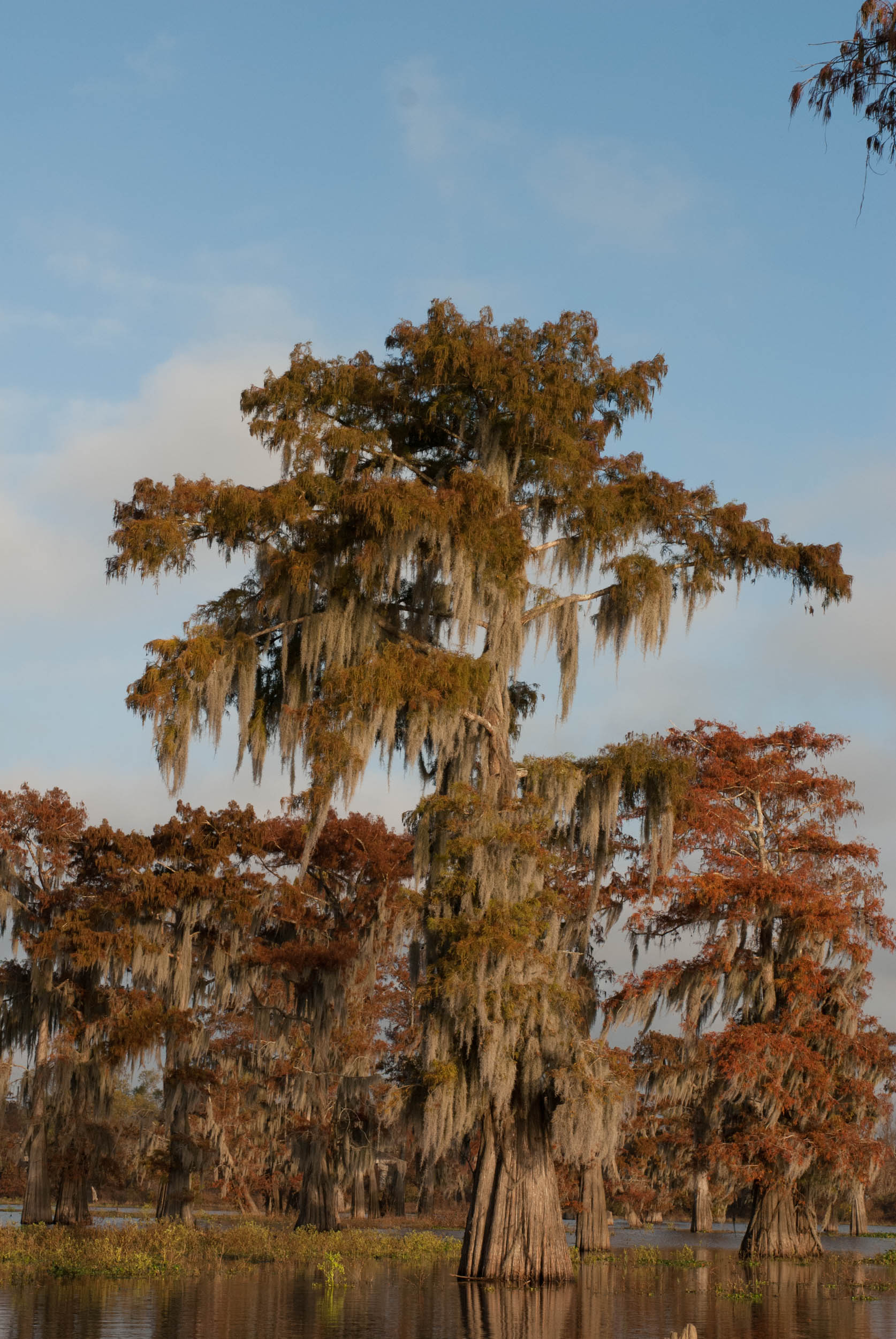 Fall Cypress in the Atchafalaya Basin