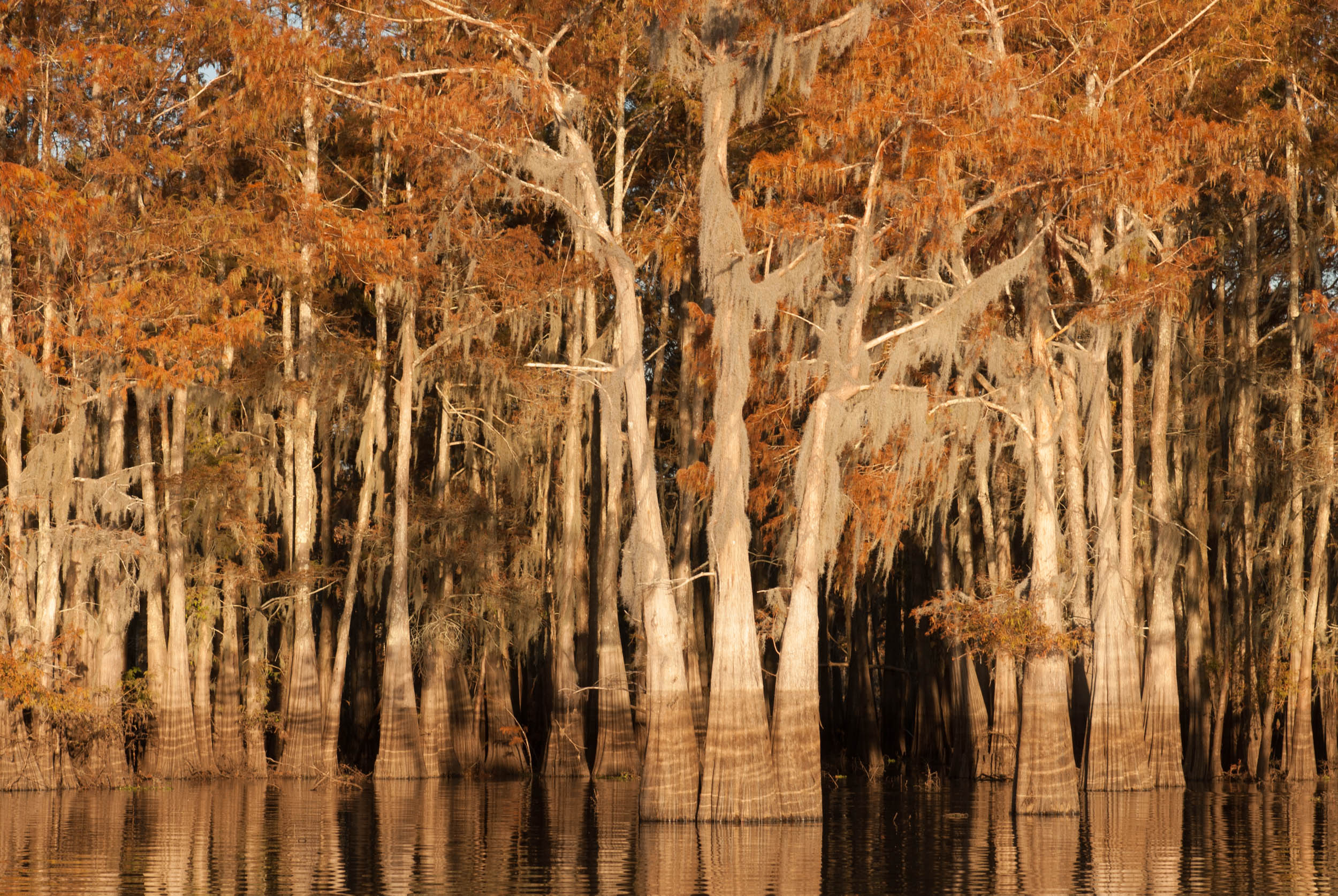 Cypress Trees – Herderson Lake, Butte La Rose, Atchafalaya Basin, Louisiana