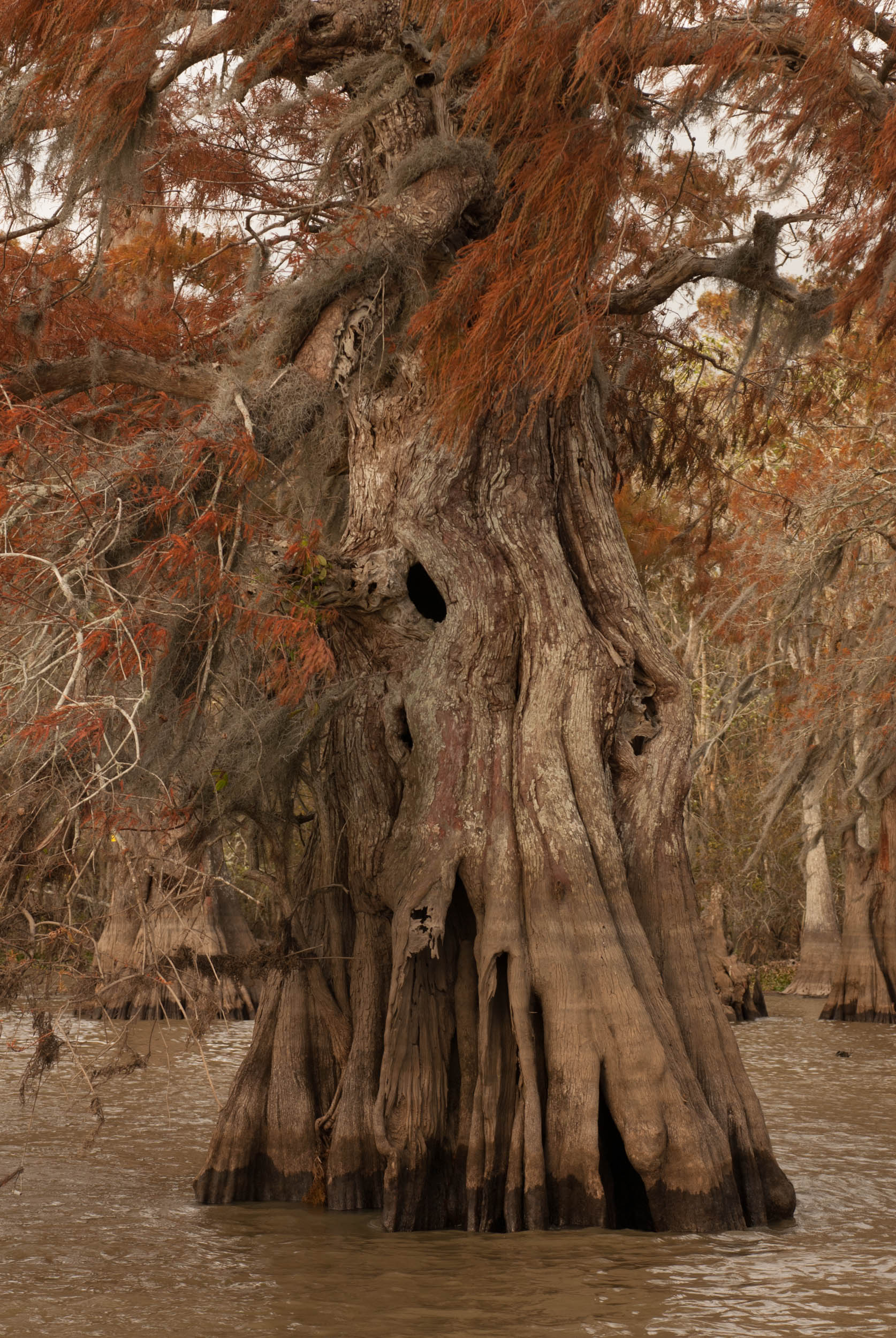 Cypress Trees – Lake Fausse Pointe, Atchafalaya Basin, Louisiana