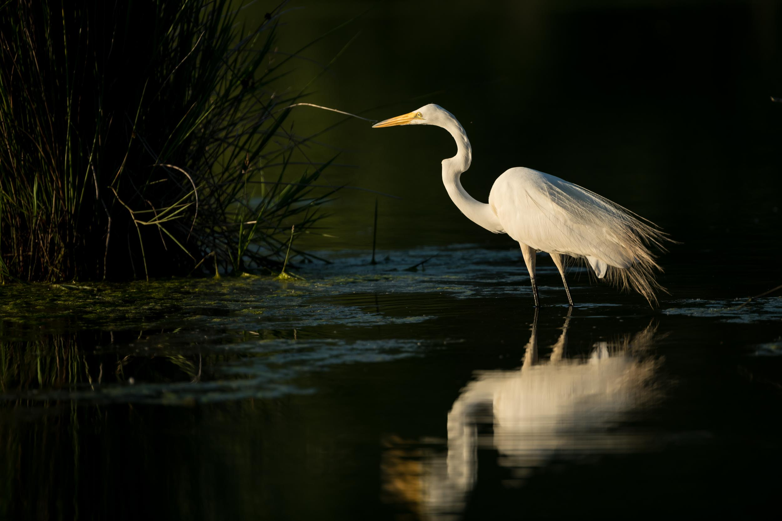 Great Egret Fishing–From the May 2019 Photo Tour
