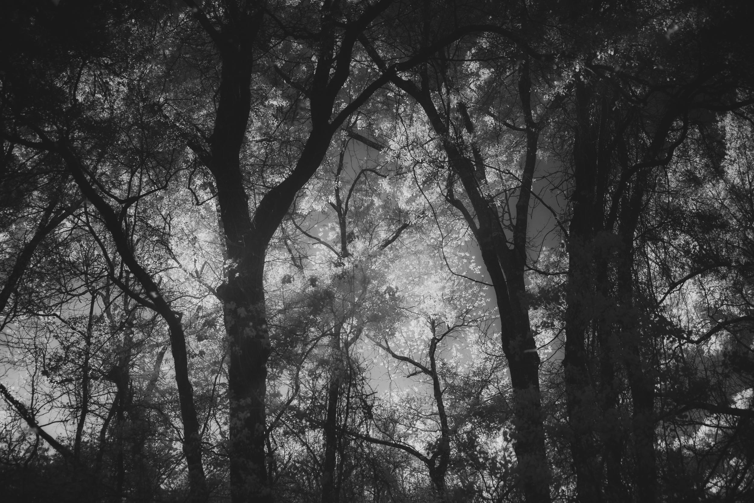 Infrared Reflection of Oaks Trees