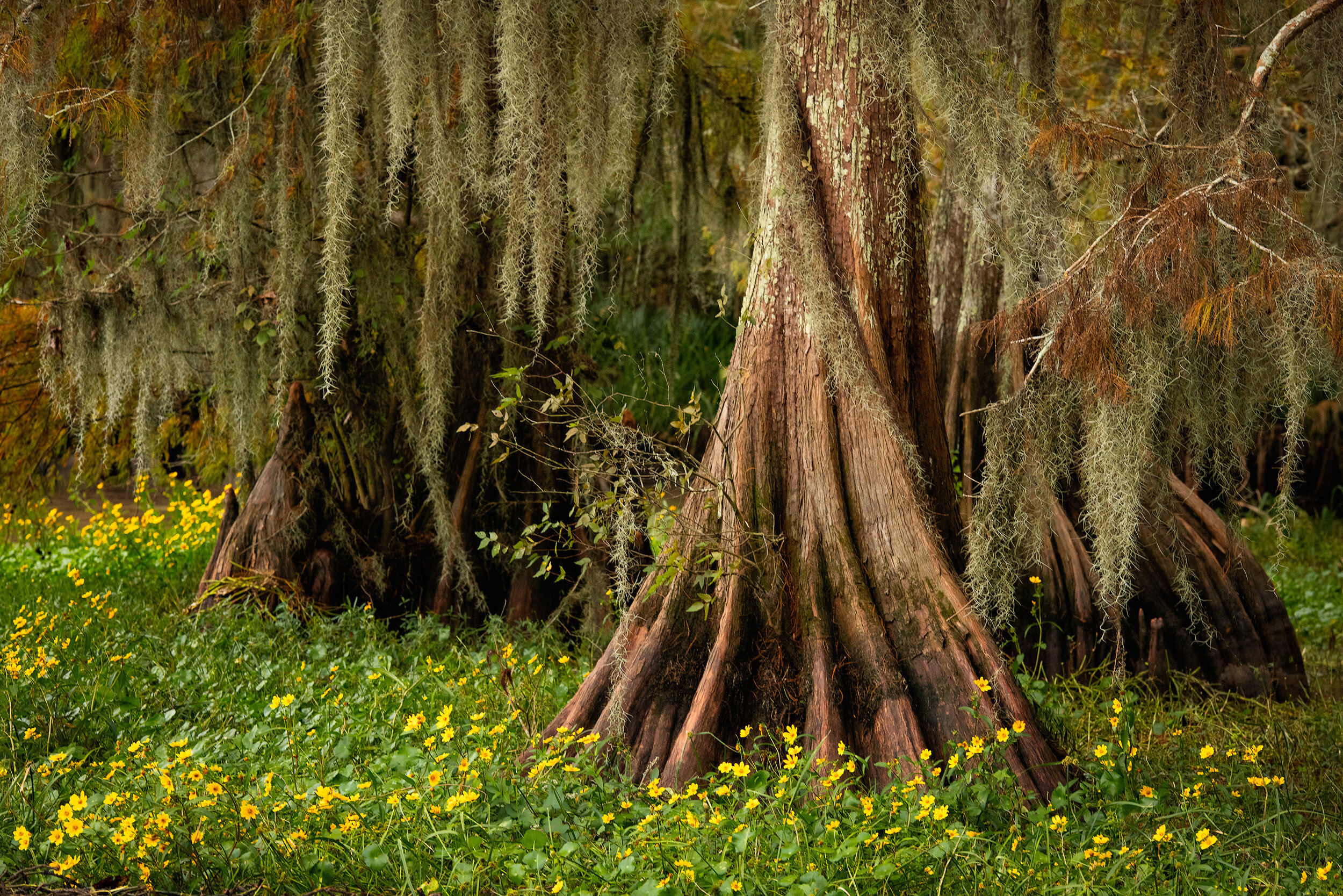 October Daisy's and Cypress Stumps