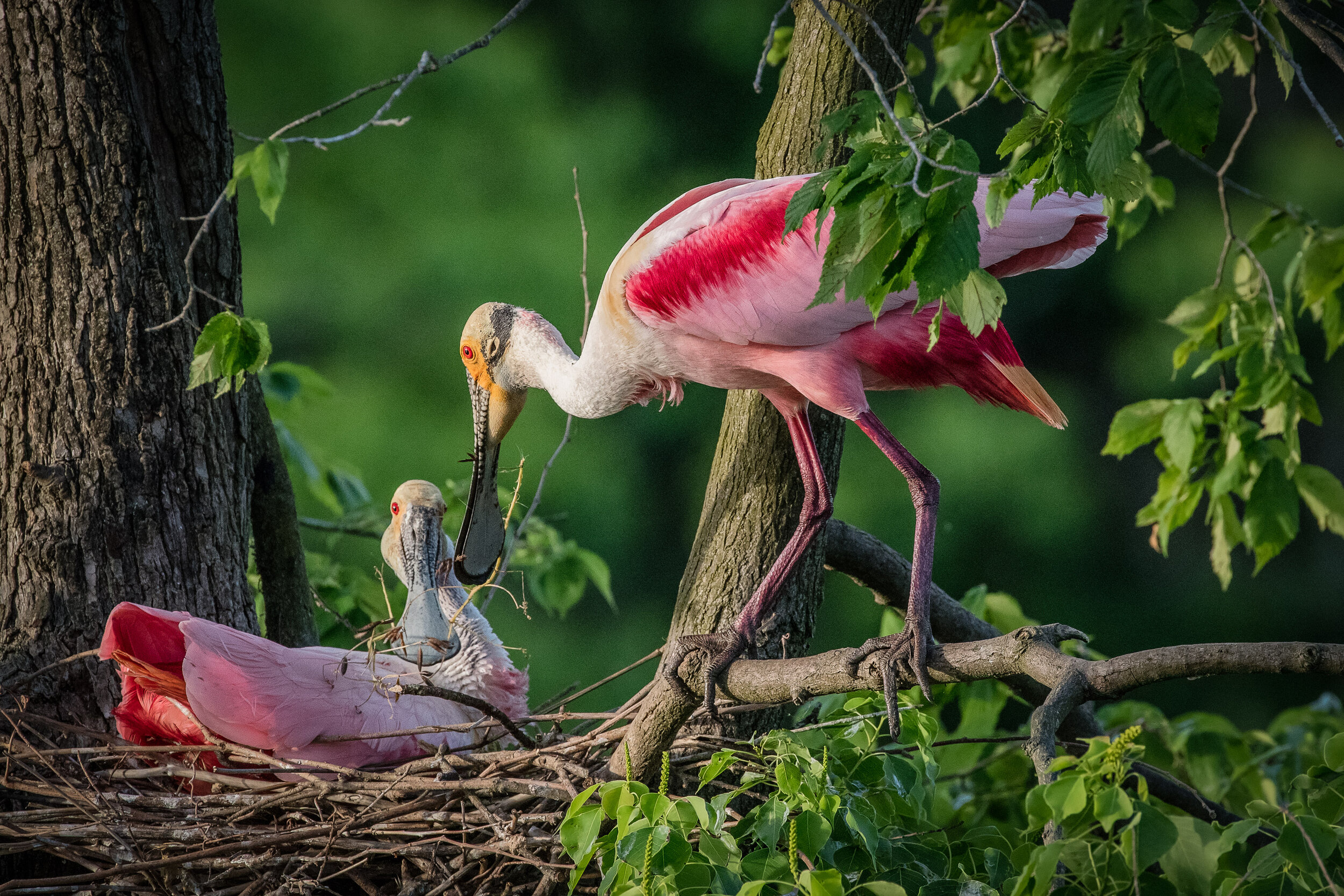 Male Roseate Spoonbill presenting a stick to the female on the nest
