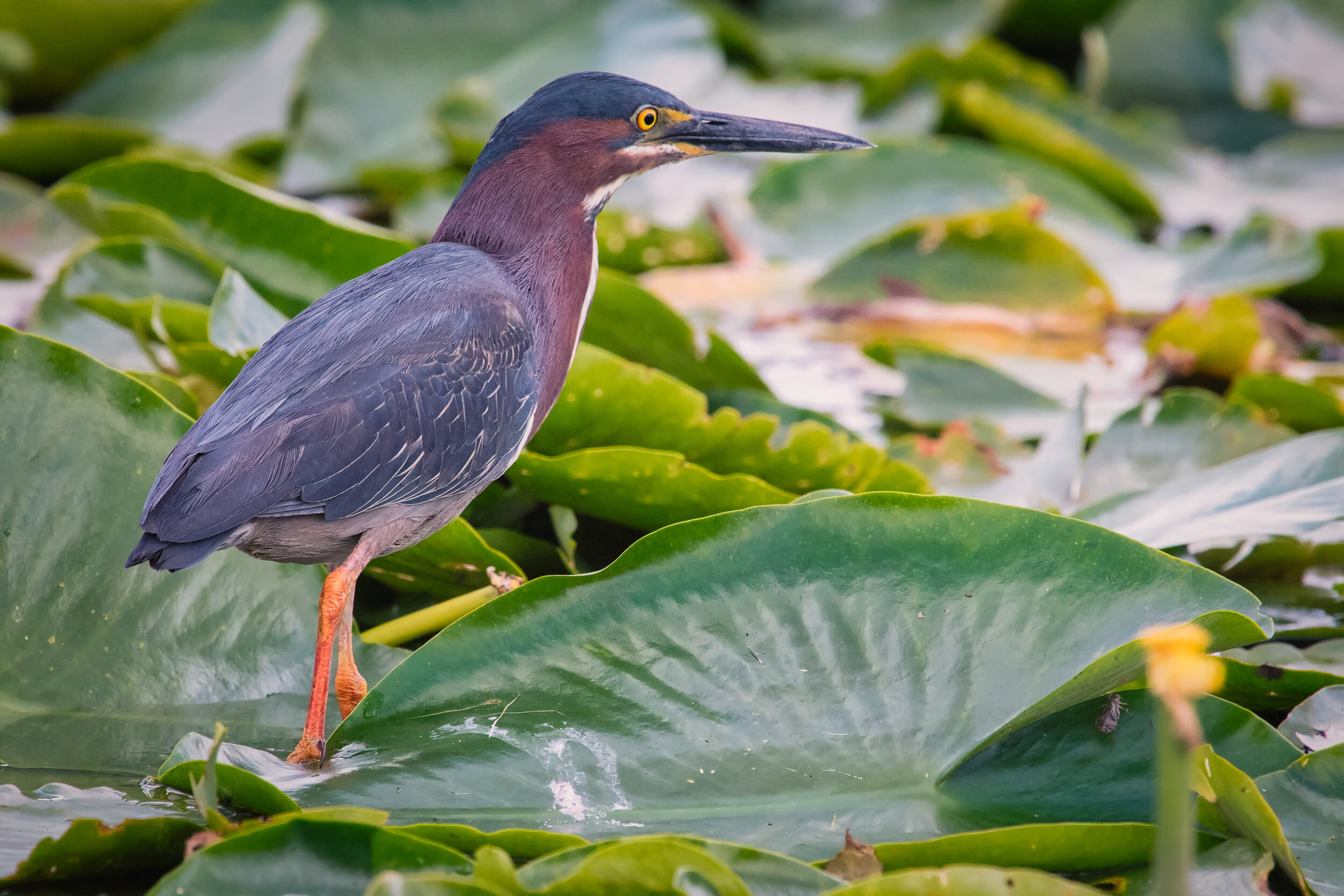 Little Green Heron on Lilly Pads