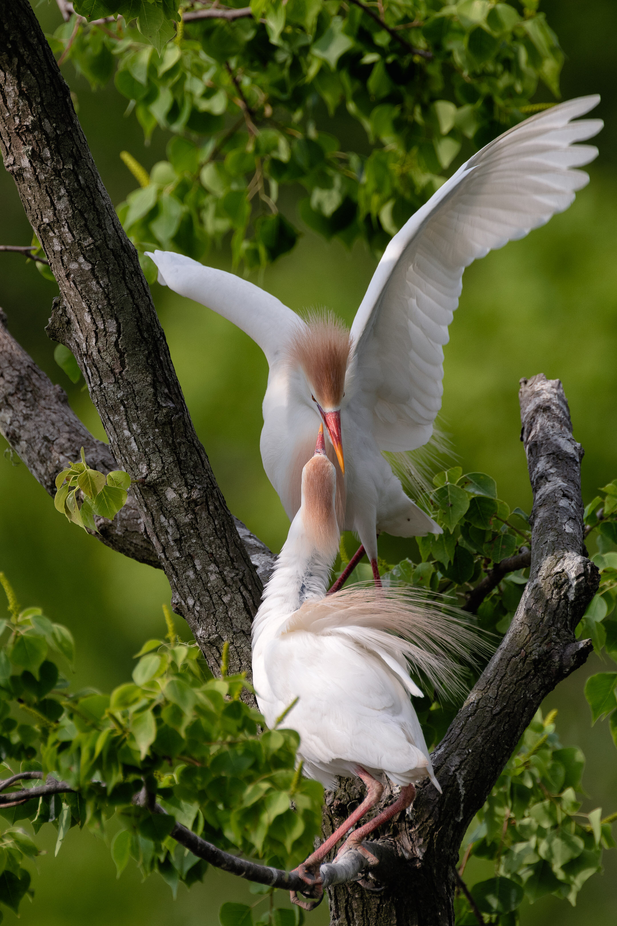 Cattle Egrets Building Their Nest