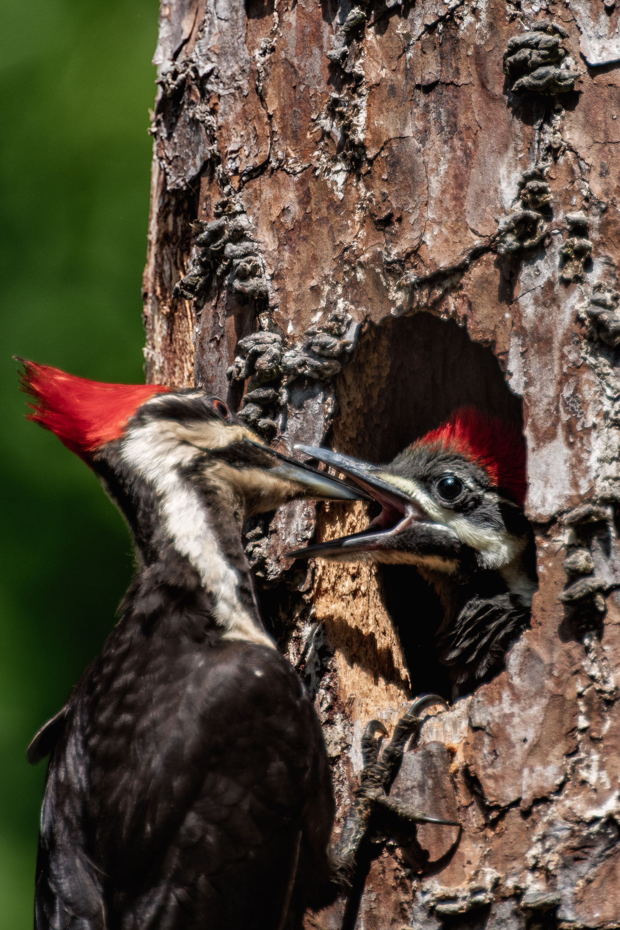 Pileated Woodpeckers Feeding Time