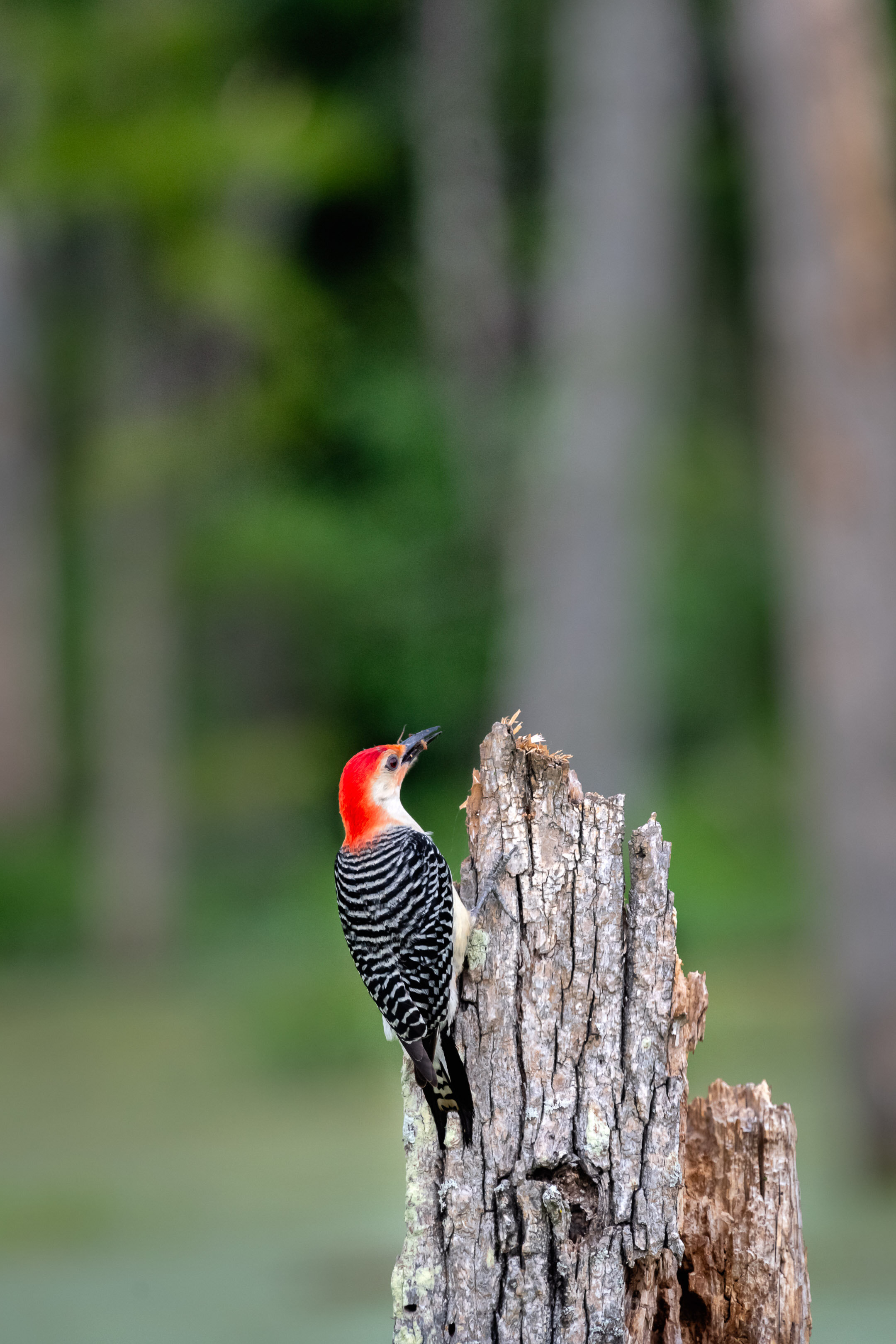Red Bellied Woodpecker Eating a Grub
