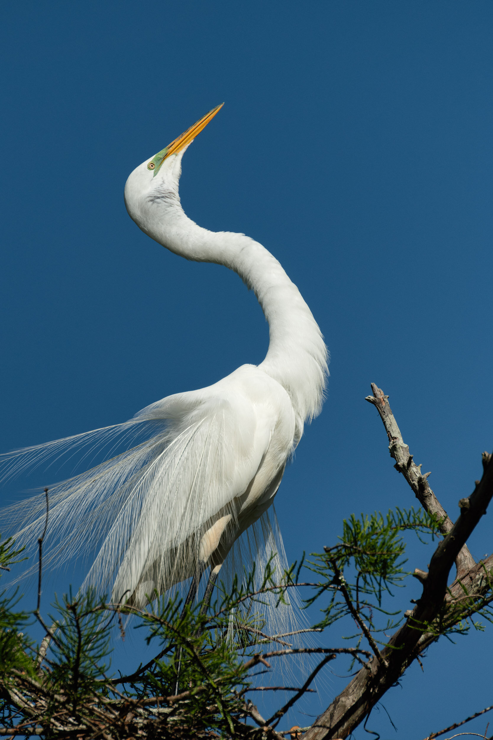 Great Egret Courtship Display–Cazan Lake, Ville Platte, Louisiana