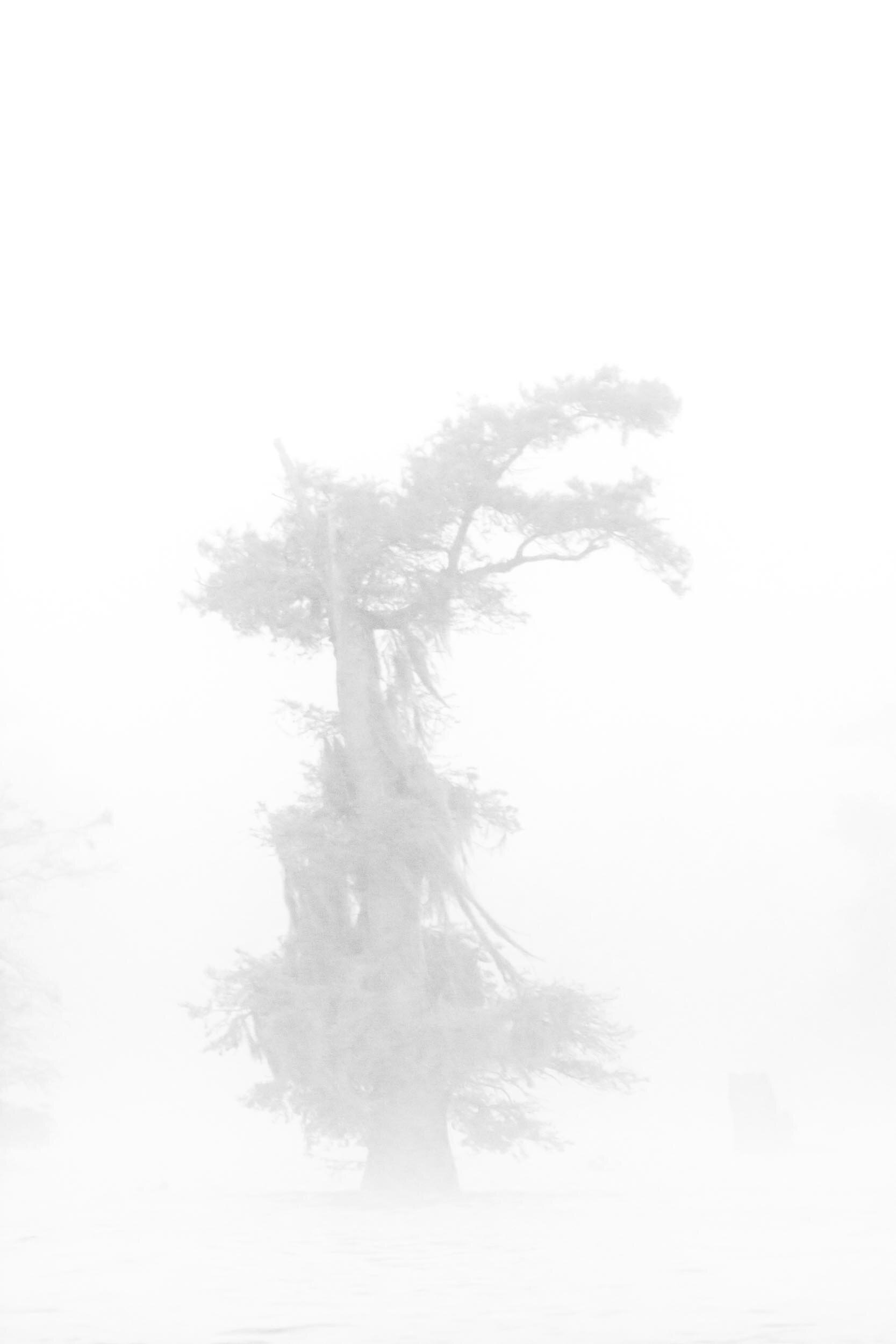 Black and White Cypress in the Fog–Henderson Swamp