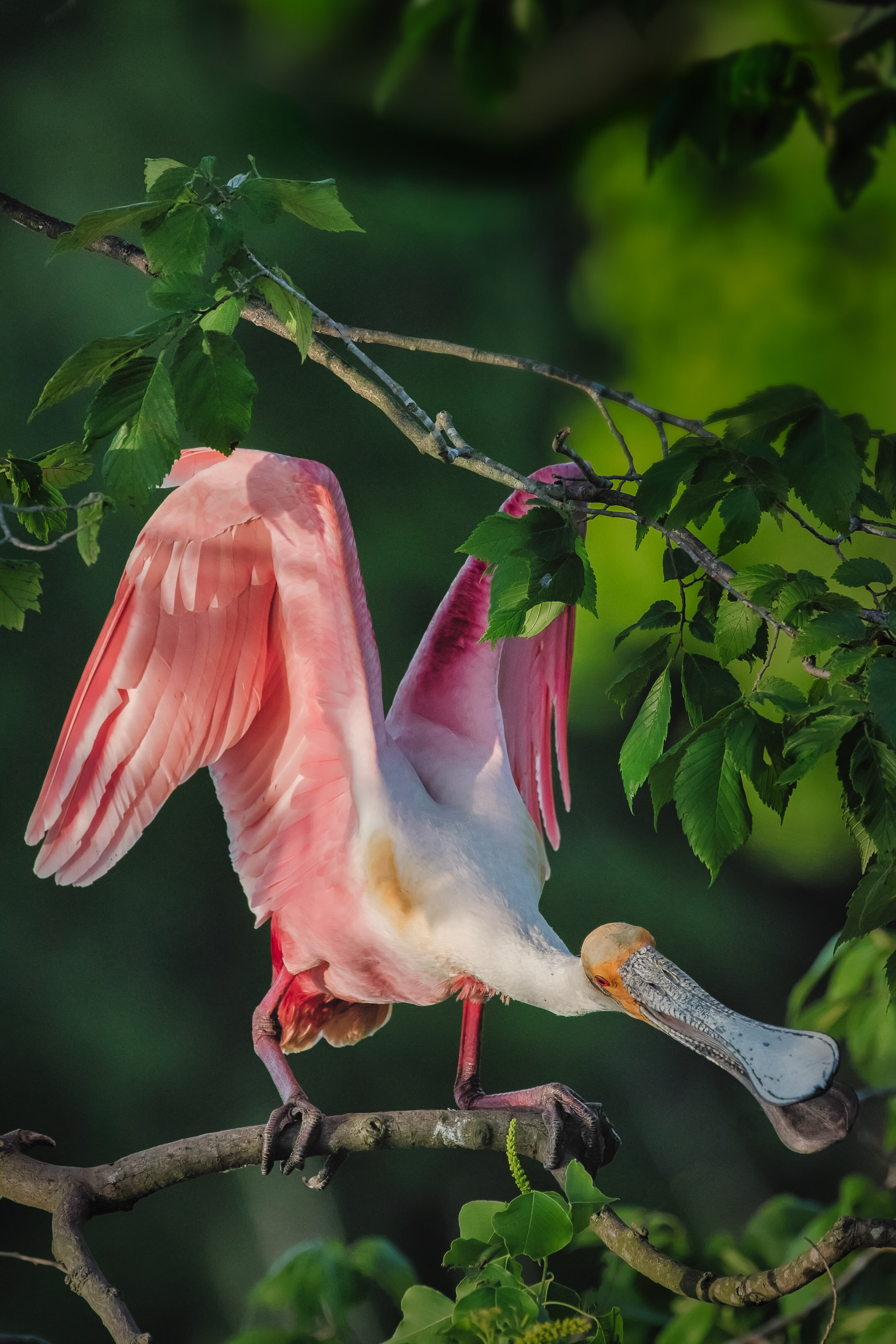 Roseate Spoonbill Collecting Sticks for the Nest