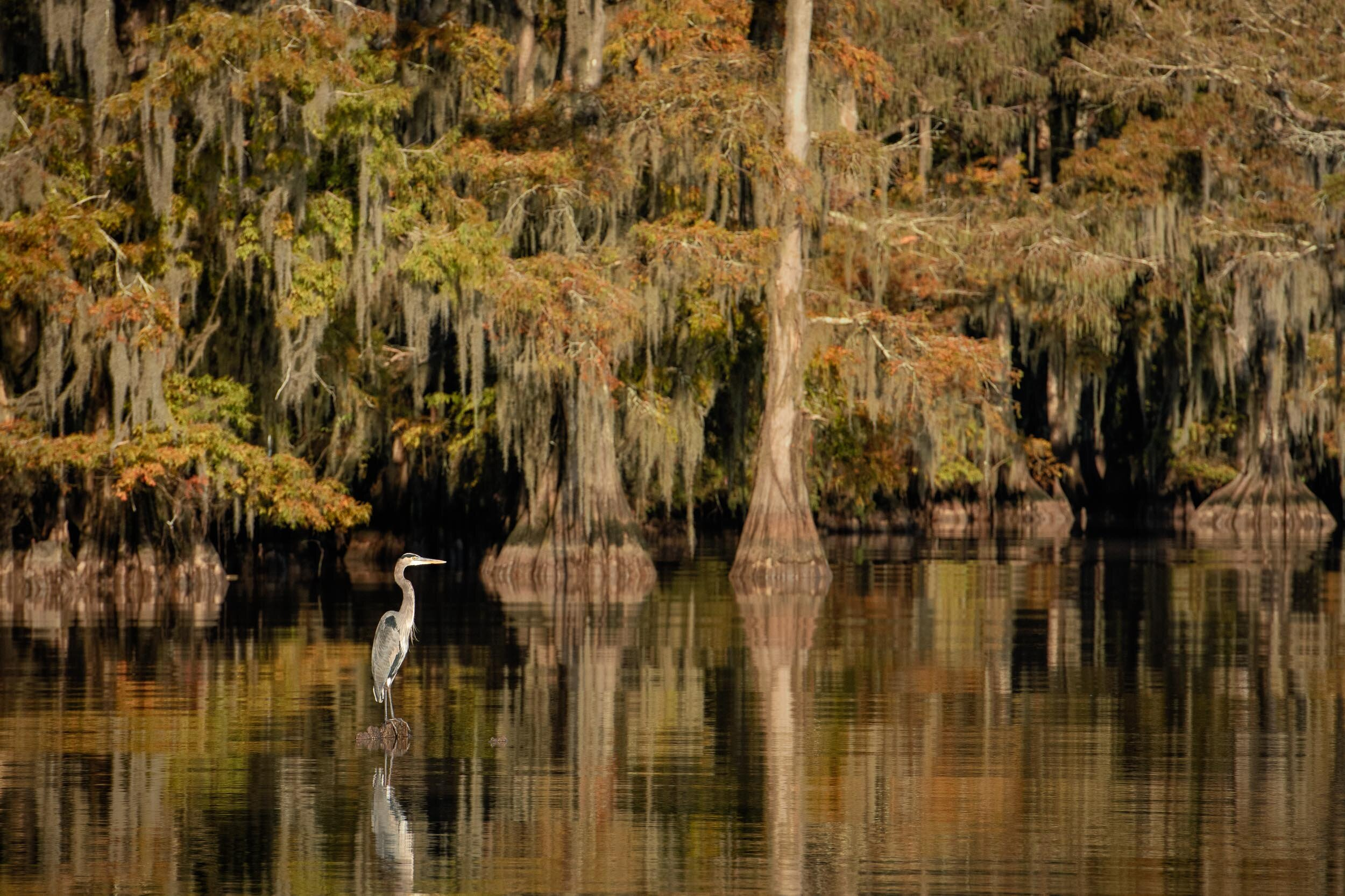 Great Egret in Fall Foliage–Lake Dauterive Fall 2018