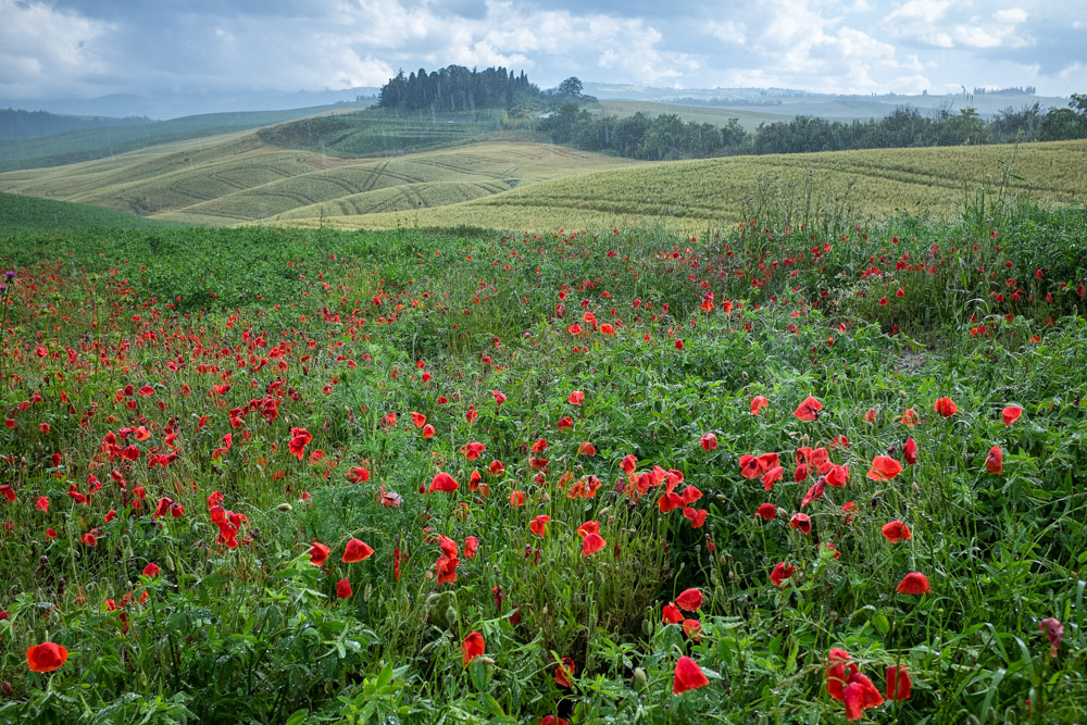 Poppies in a downpour outside Pienza. I was totally drenched after wading out into the field to get this shot, but it was completely worth it. The things we do for a photo.
