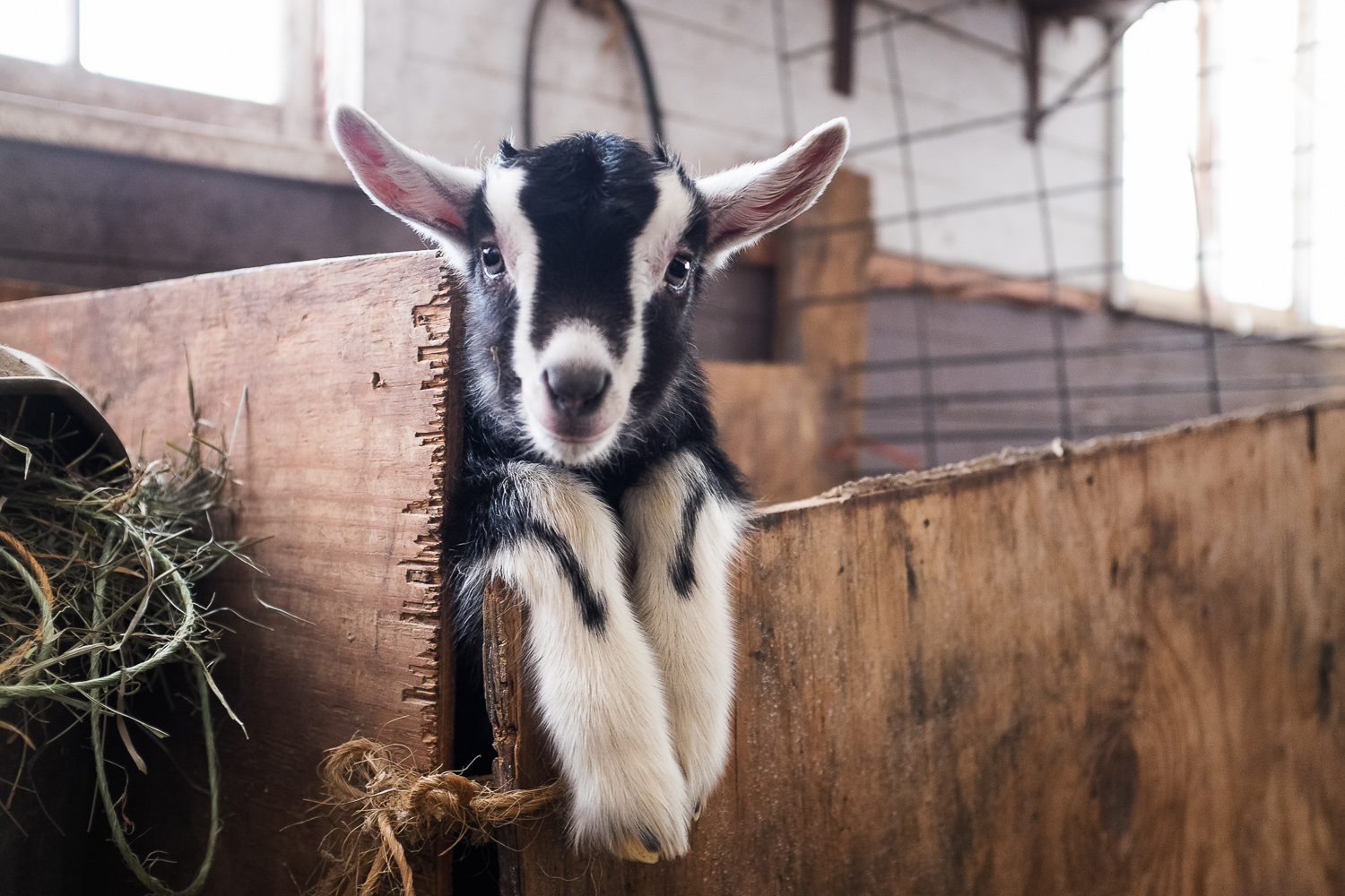 A 2 week old baby goat. Cute overload.