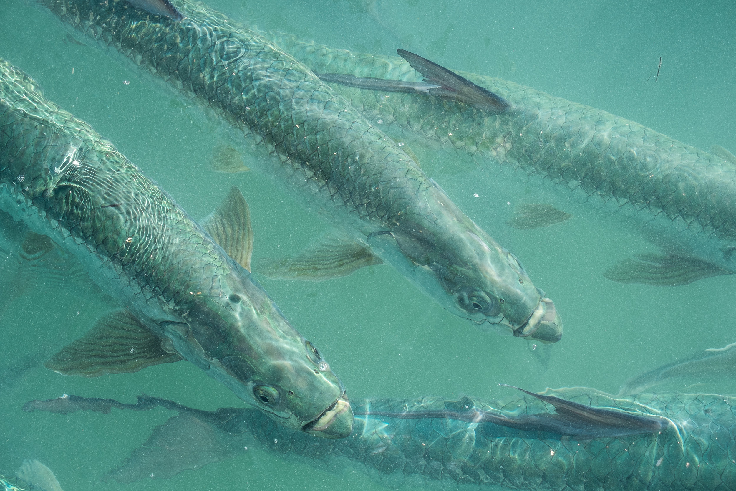 School of Tarpon