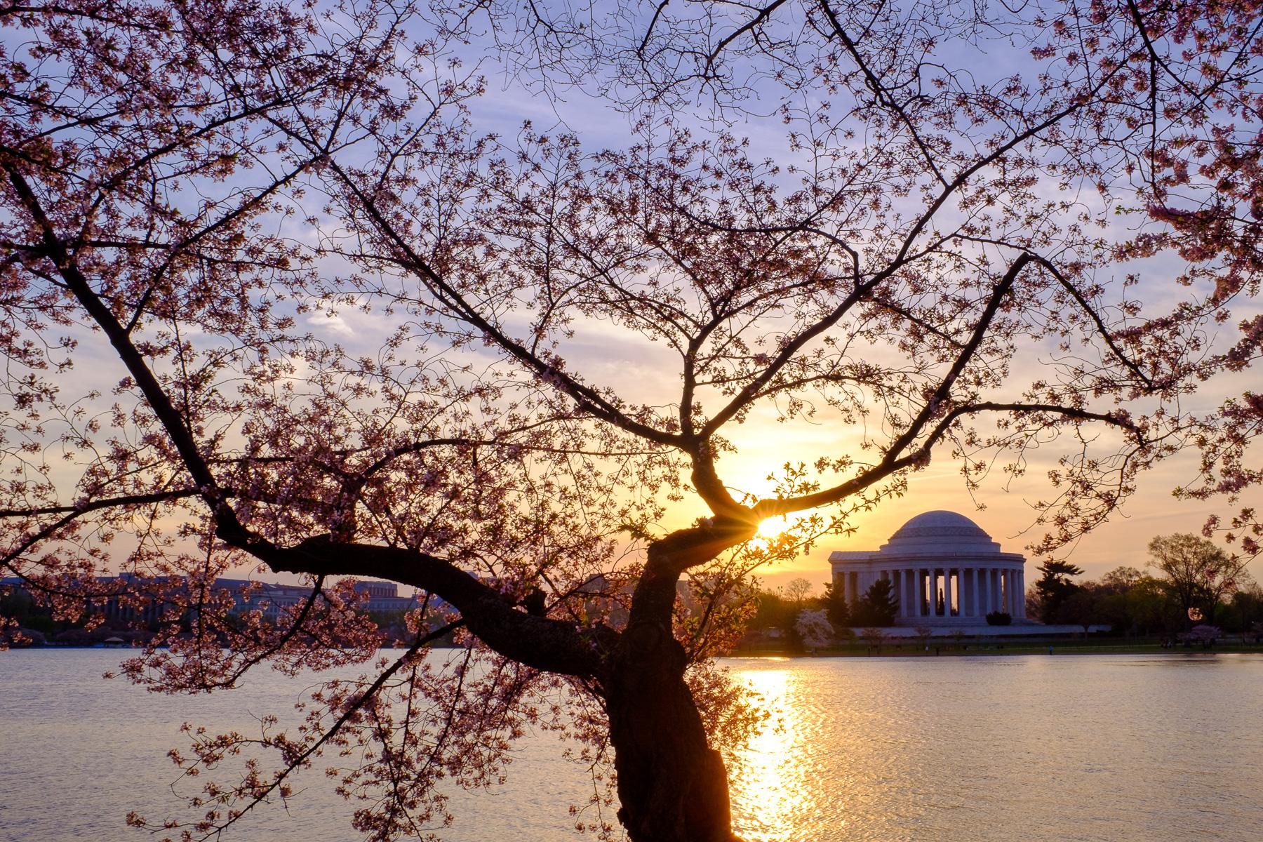 Cherry-Blossom-Festival-Sunrise.jpg