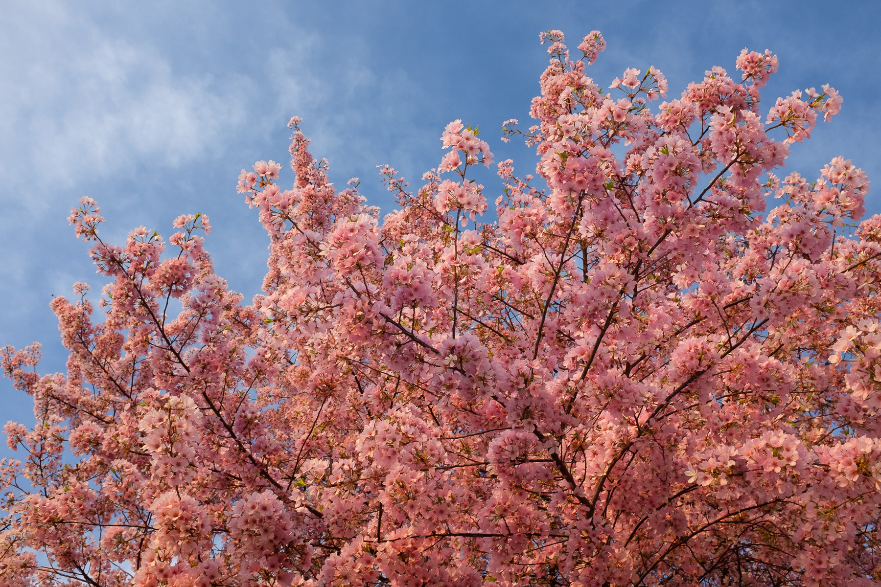 Incredible-Cherry-Blossoms-Peak-Bloom.jpg
