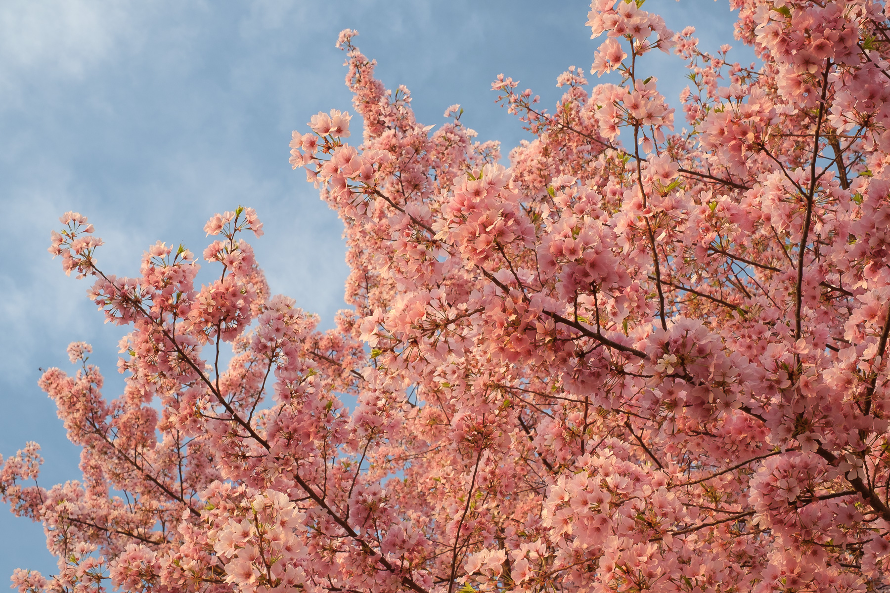 Cherry-Blossom-Tree-Peak-Bloom.jpg