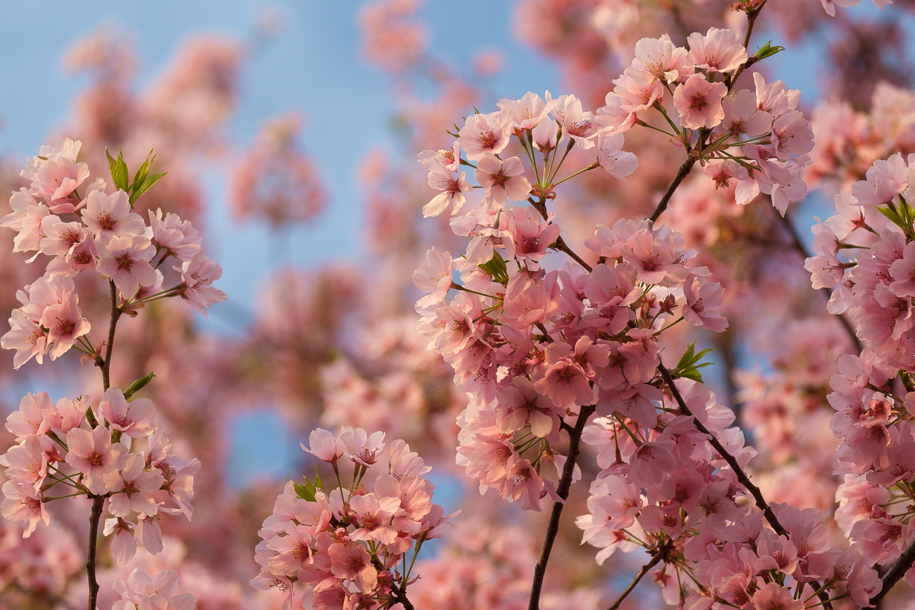 Cherry-Blossom-Branch-Peak-Bloom.jpg