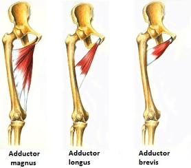 The Adductor muscle group is also part of the hip stabilizer muscles.