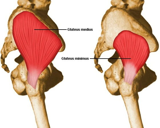 The gluteus medius and gluteus minimus help to stabilize the hip, and are often functionally weak.