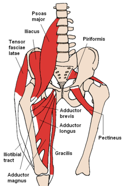 The psoas major and iliacus join forces to effectively flex your hip joint.