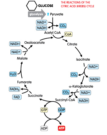 The Krebs Cycle produces lots of energy for exercise, but requires glucose (carbs) to keep running.