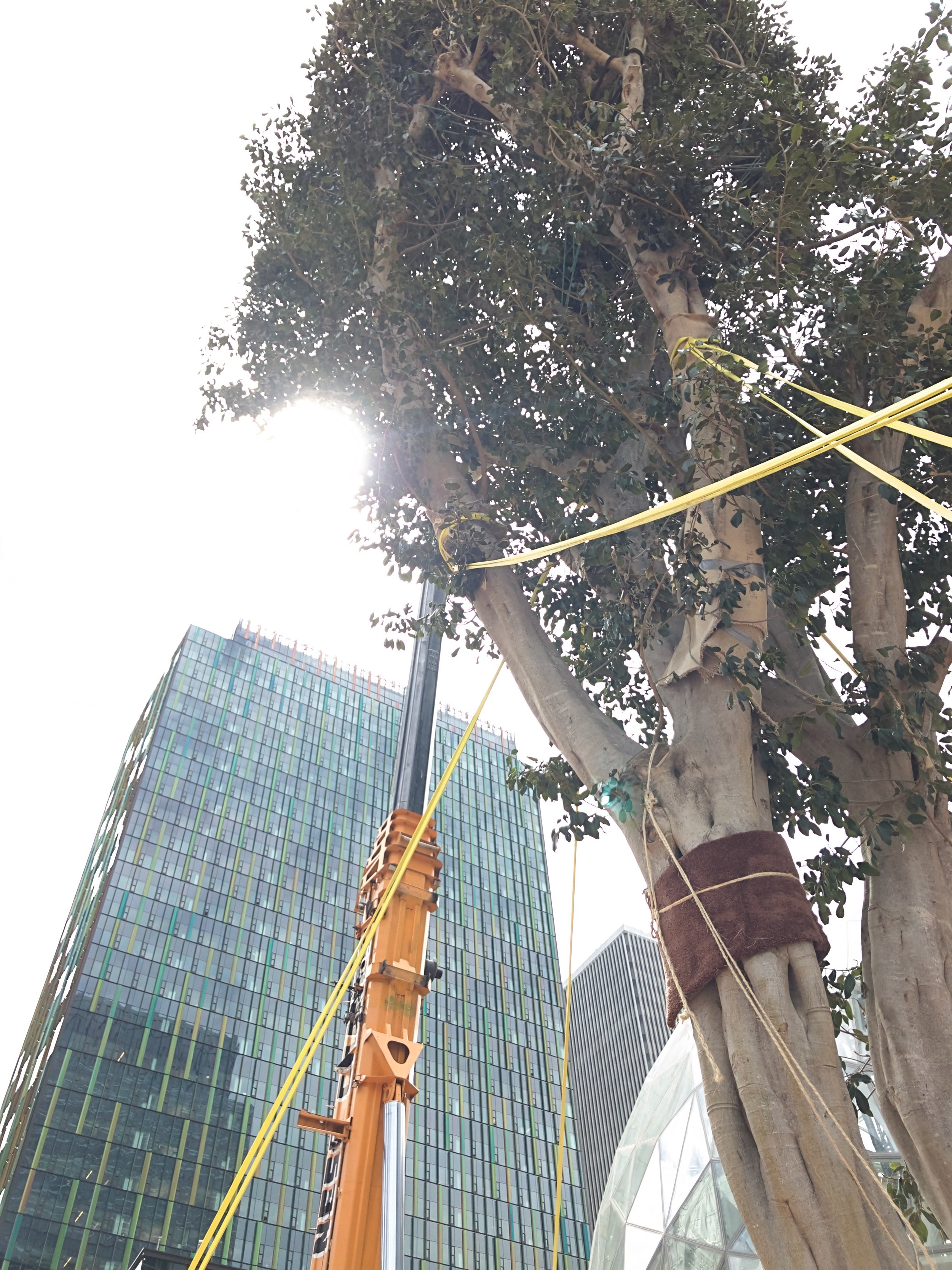 Amazon brings a 55-foot tree into its Spheres just two blocks from SVC.