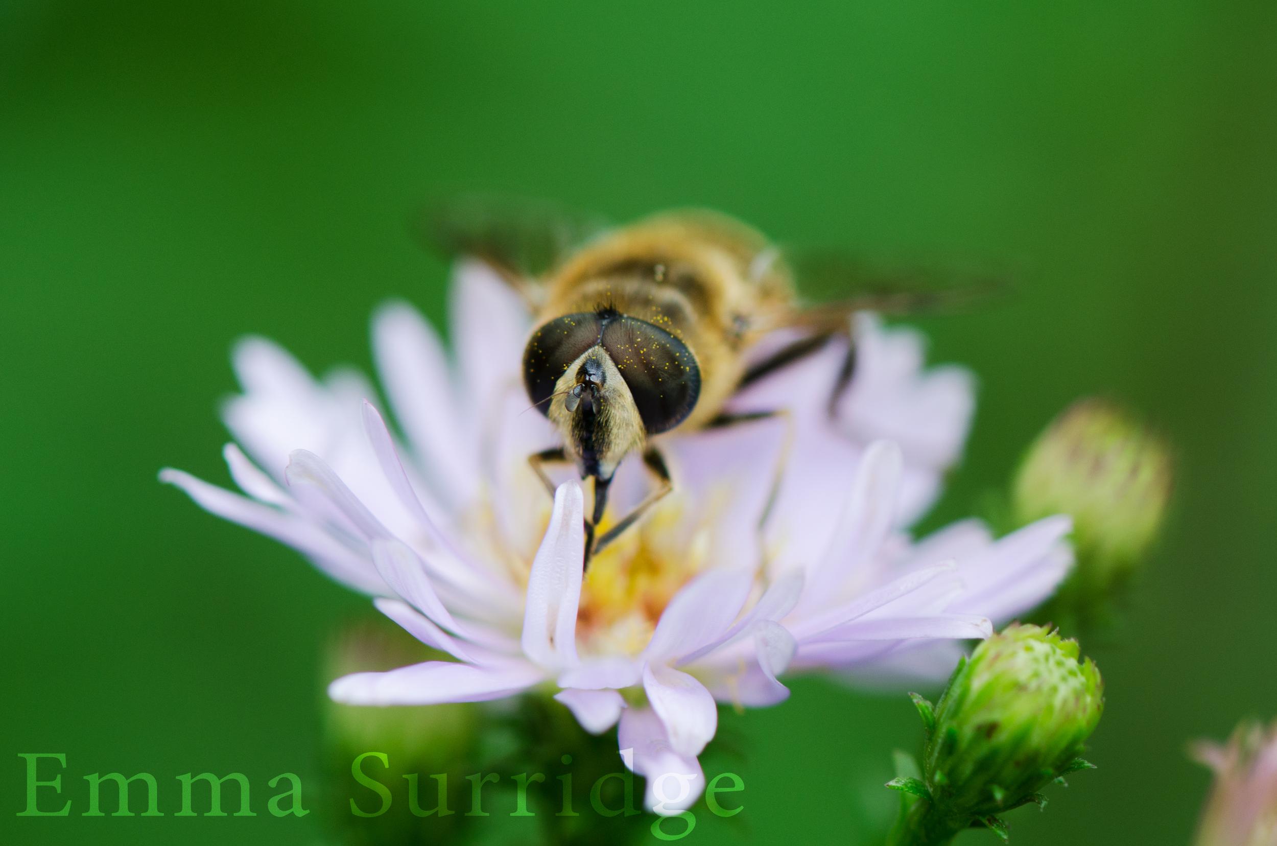 pollenbeew.jpg