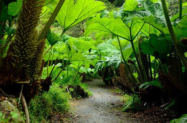 Gunnera came up on my horticulture course yesterday and reminded me how much I love this stuff. Throwback to Trebah in Cornwall, these were about 3m tall!