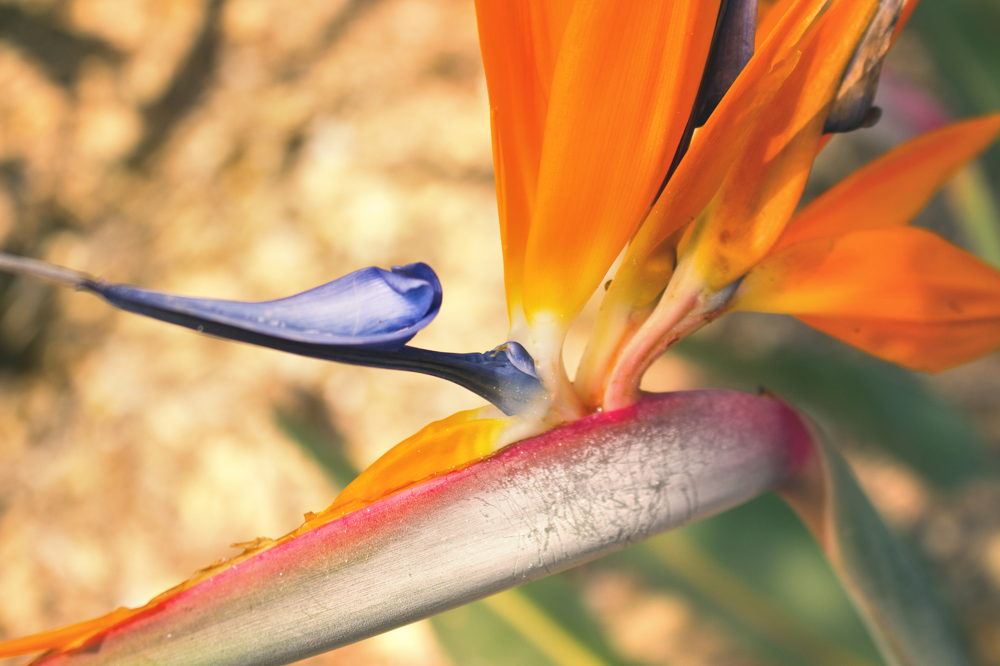 Birds of paradise in Ramat Hanadiv memorial gardens in Israel, photographed by Geena Matuson @geenamatuson #thegirlmirage.