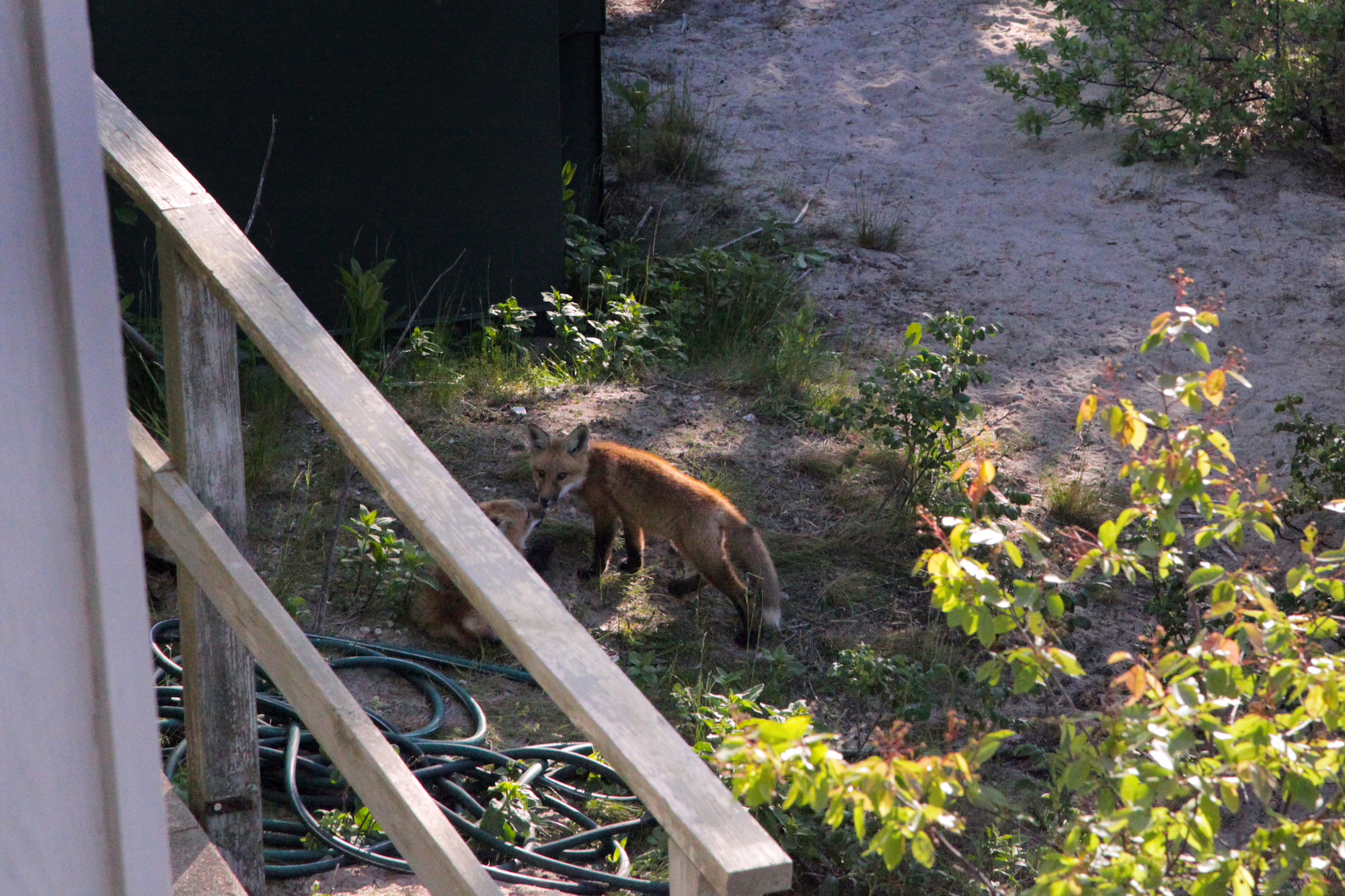 Young foxes playing at observatory at nature park in Cape Cod, MA, USA / #Travel photography by Geena Matuson @geenamatuson #thegirlmirage.