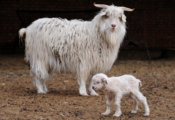 Pashmina goats