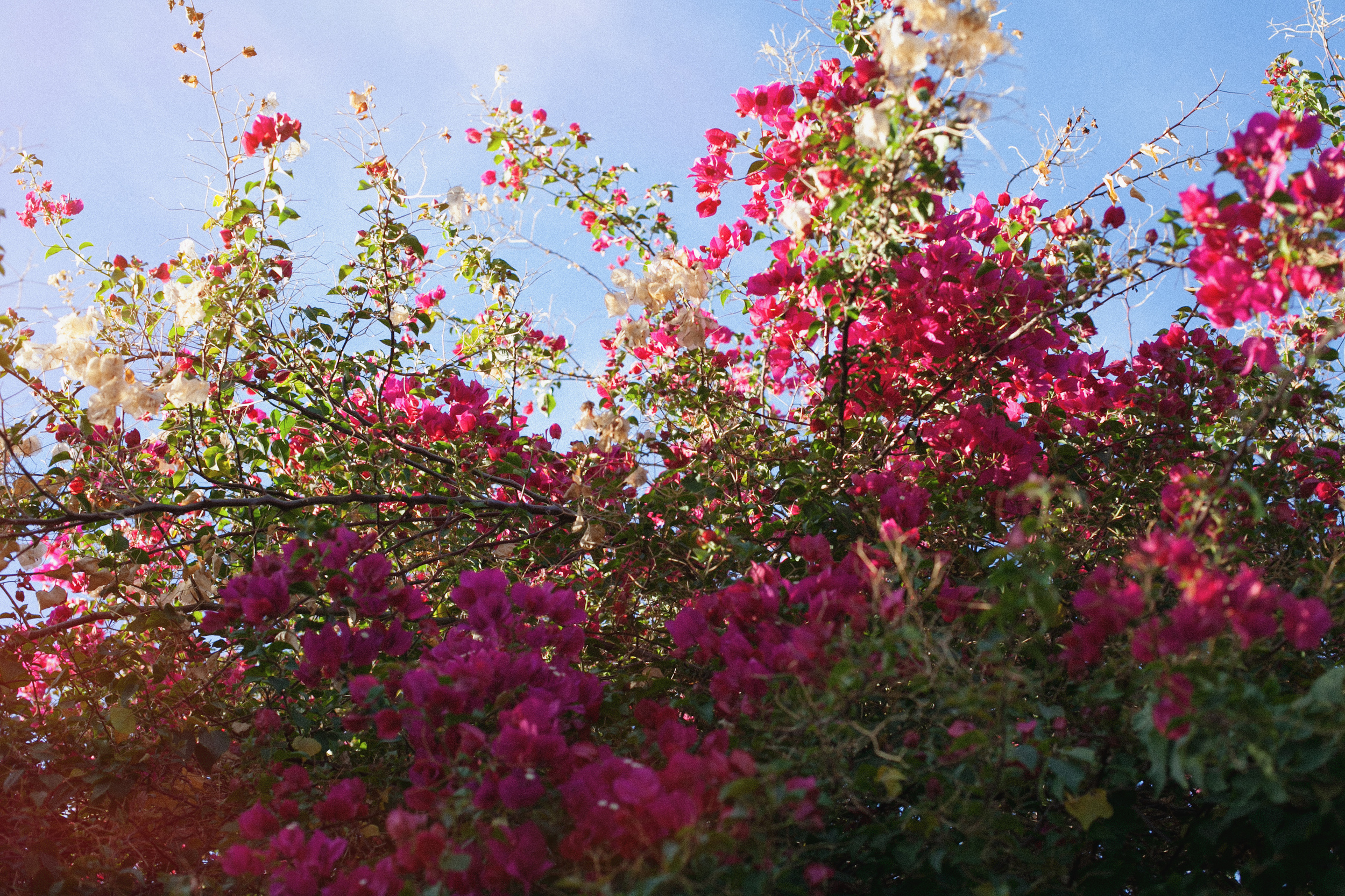 Bouganvilla Flowers in Palm Springs by Naomi Yamada