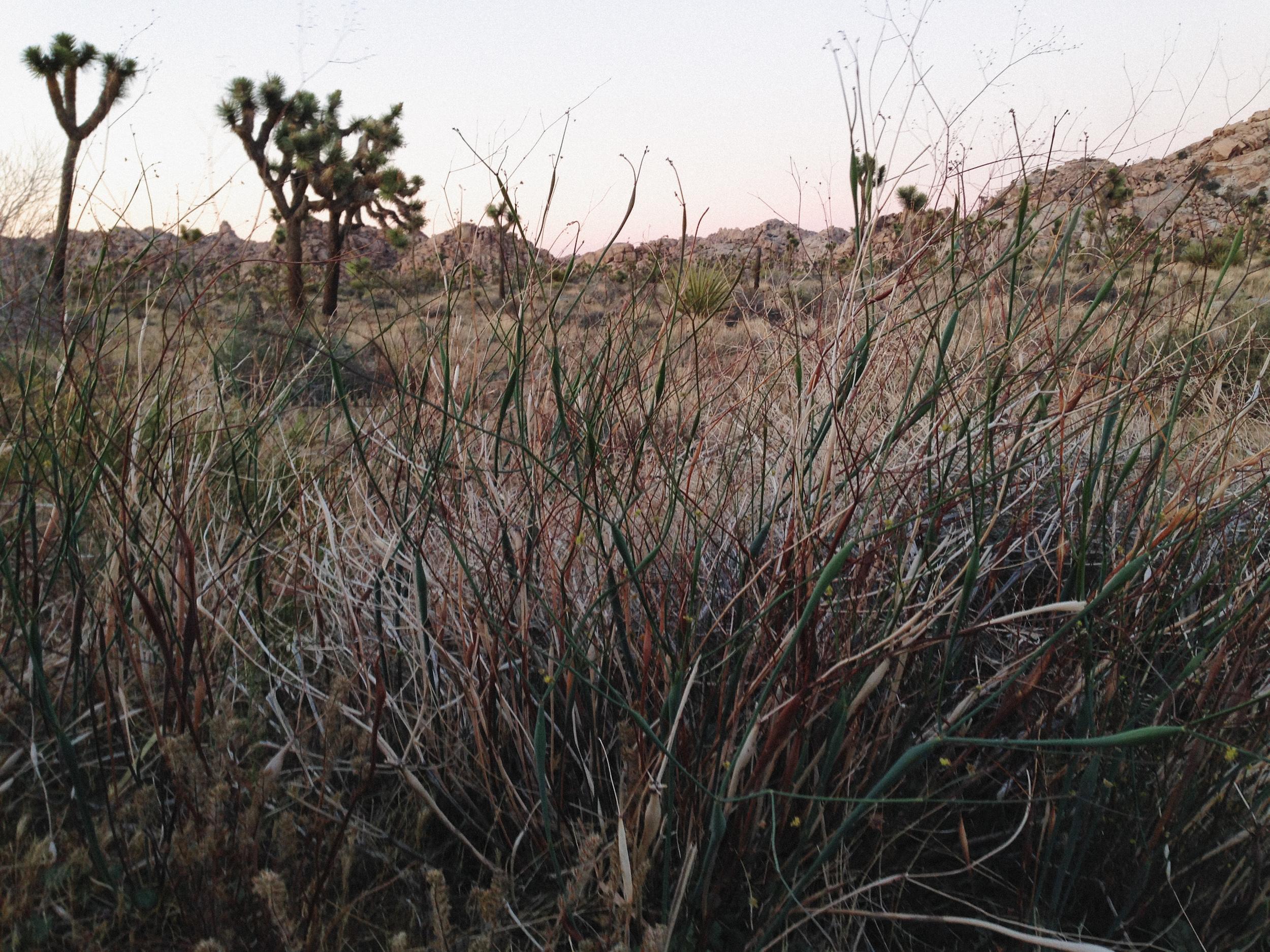 Joshua Tree grass