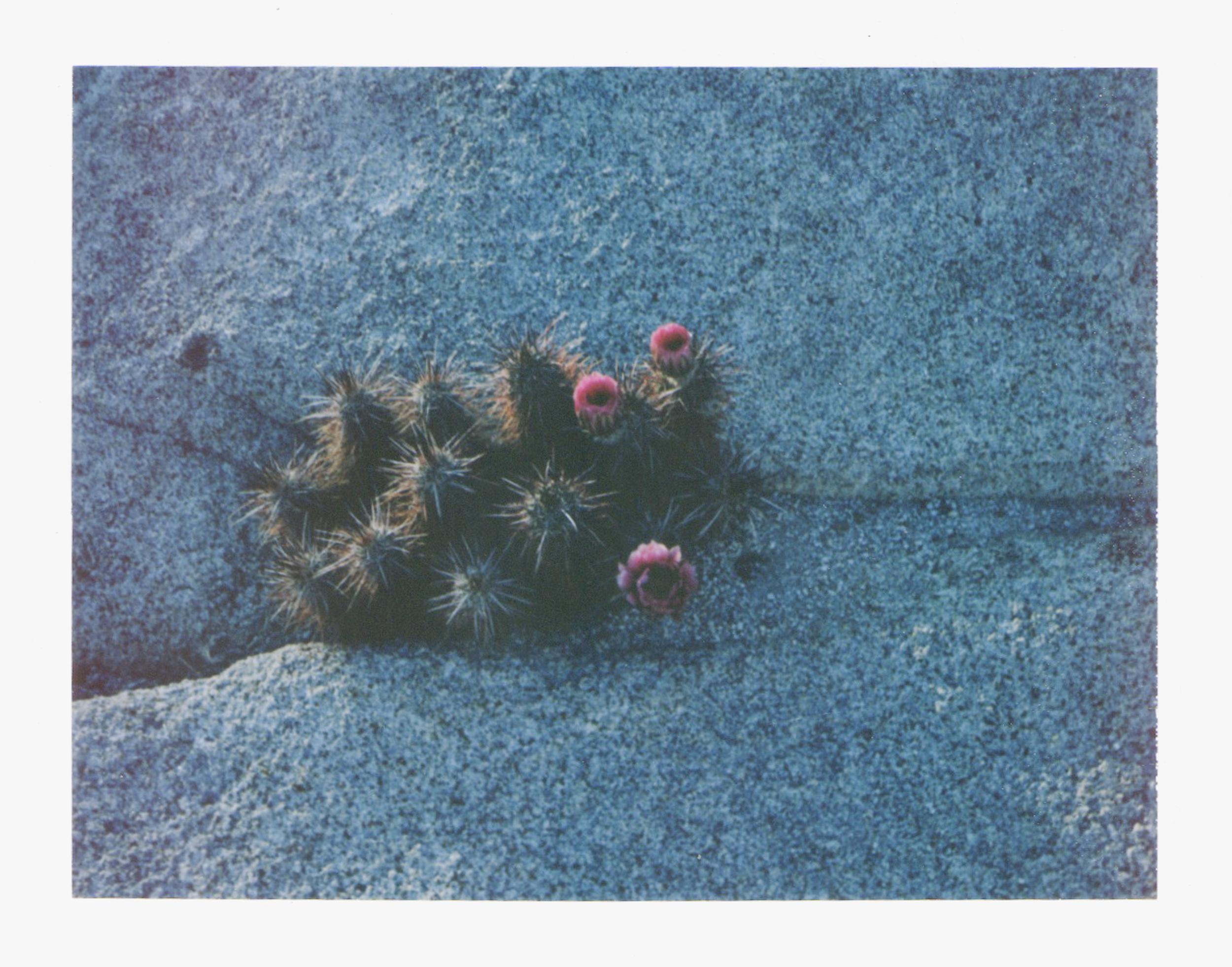 Joshua Tree Wildflower by Naomi Yamada