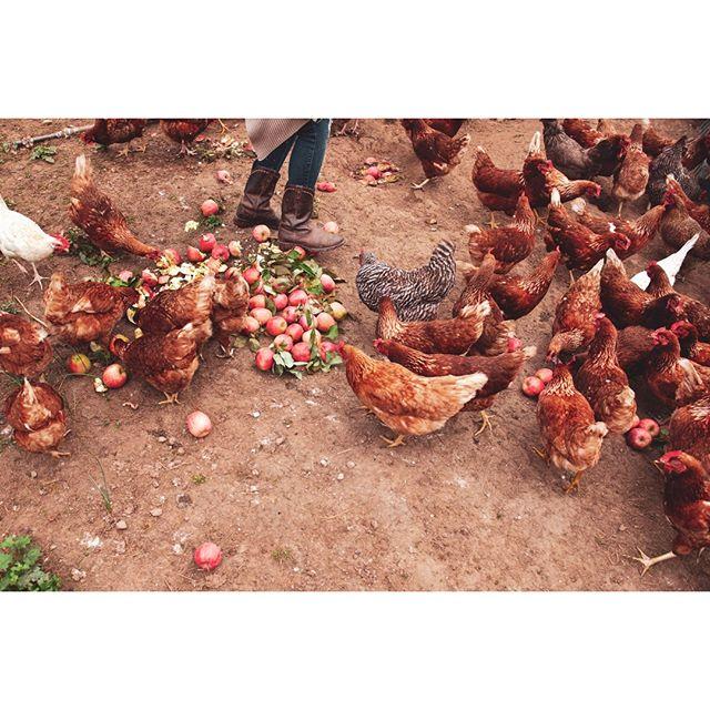 The Pampered Life.⠀ ⠀ ⠀ ⠀ ⠀ #farm, #travel #newyork #fromfarmtotable #organic #getaway #travel #instagood #farmers #agriculture #farming #farm #farmer #farmlife #agriculturelife #countrylife #chickens, #women #nature #tomatos #colors #color #hands #womenfarmer #women #hens