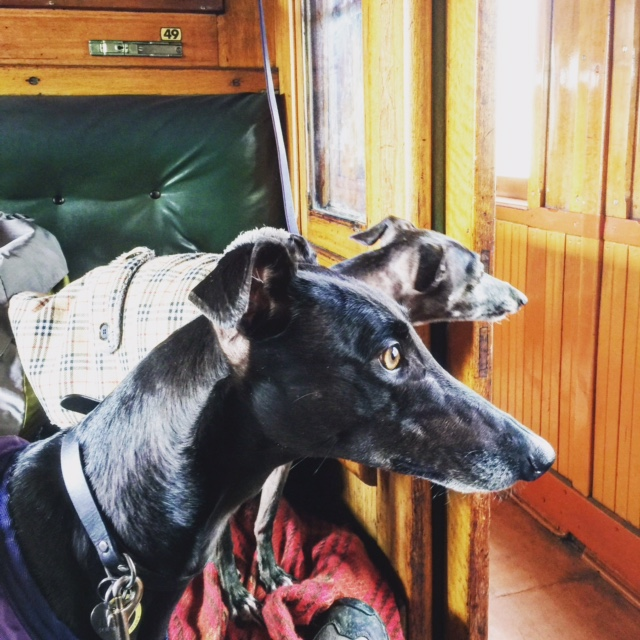 Greyhounds on board