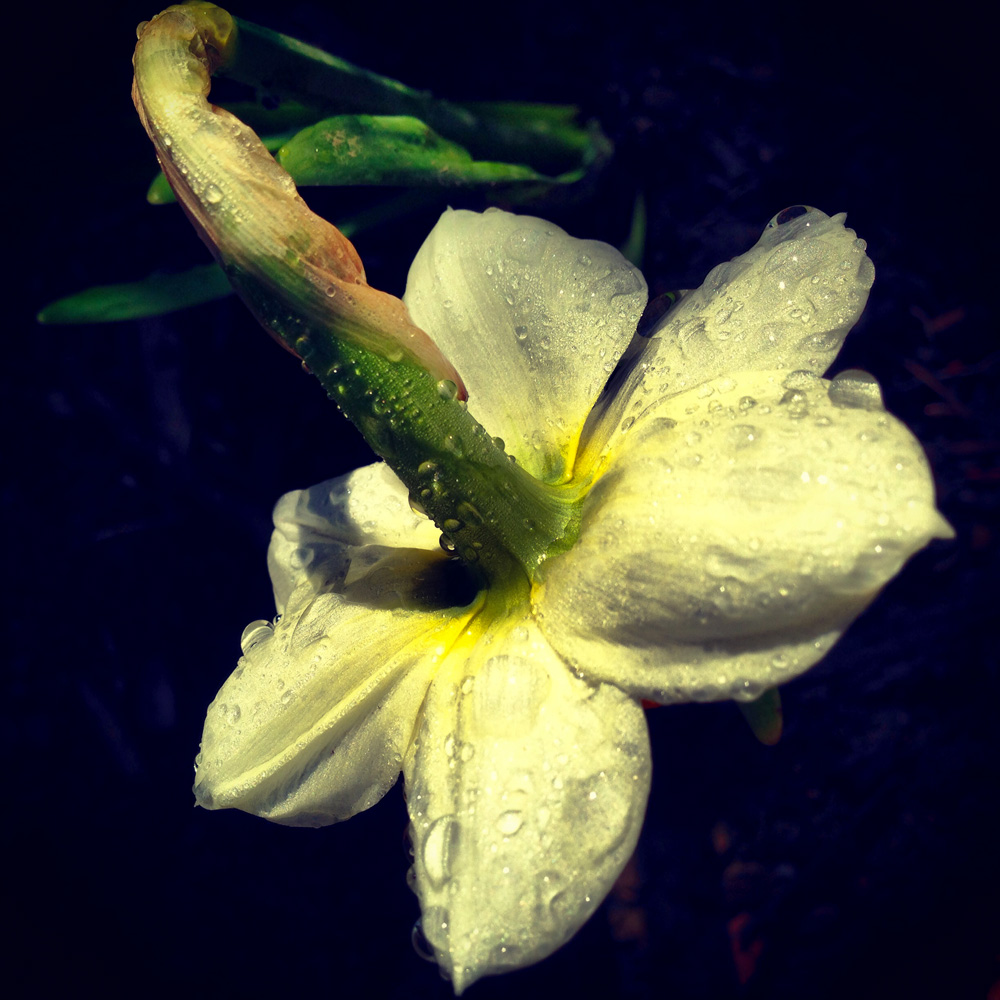 daffodil_sm.jpg
