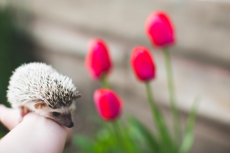 Hedgehog-outdoors-spring