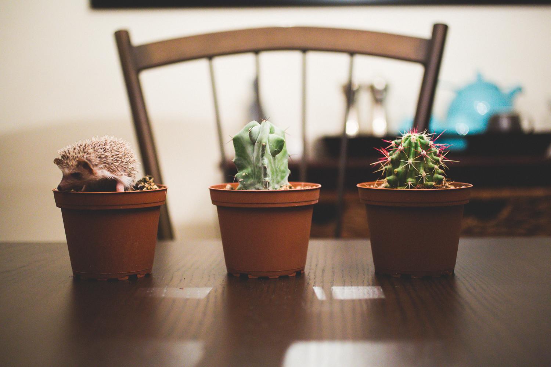 hedgehog-cactus-photo