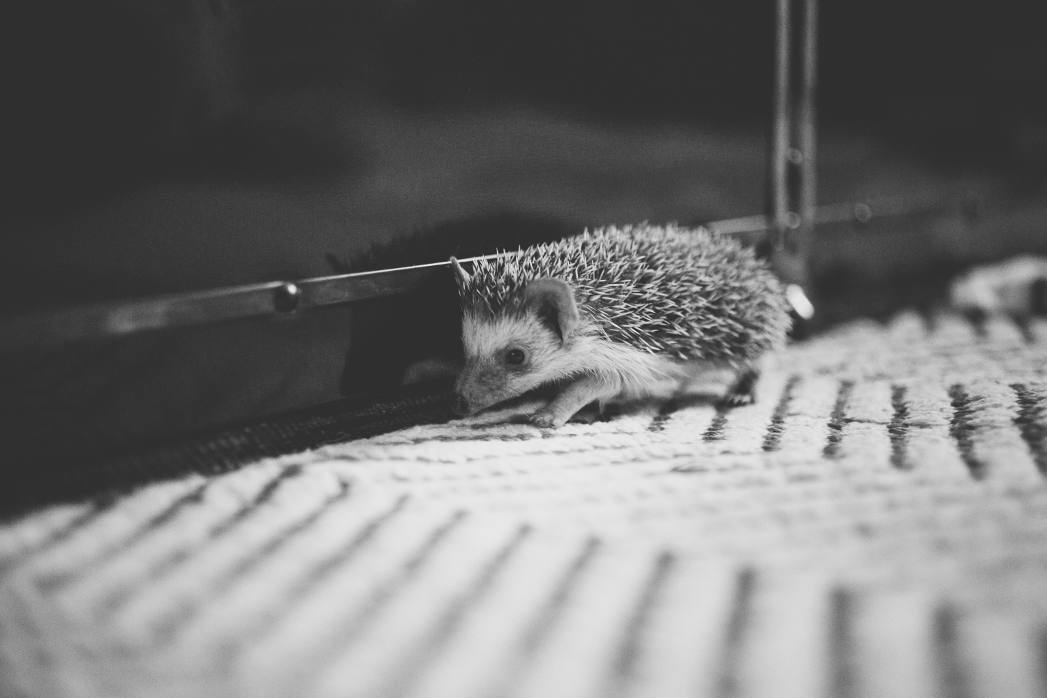 hedgehog-loose-in-the-house