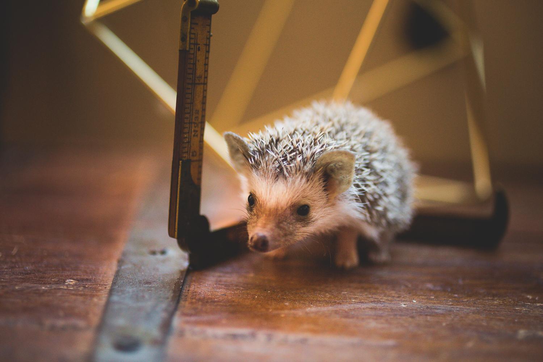 baby-hedgehog-quills